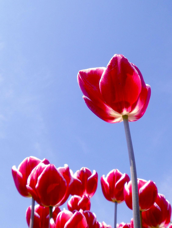 Bild mit Pflanzen, Blumen, Frühling, Blume, Pflanze, Tulpe, Tulpen, Blüten, blüte, frühjahr, pink