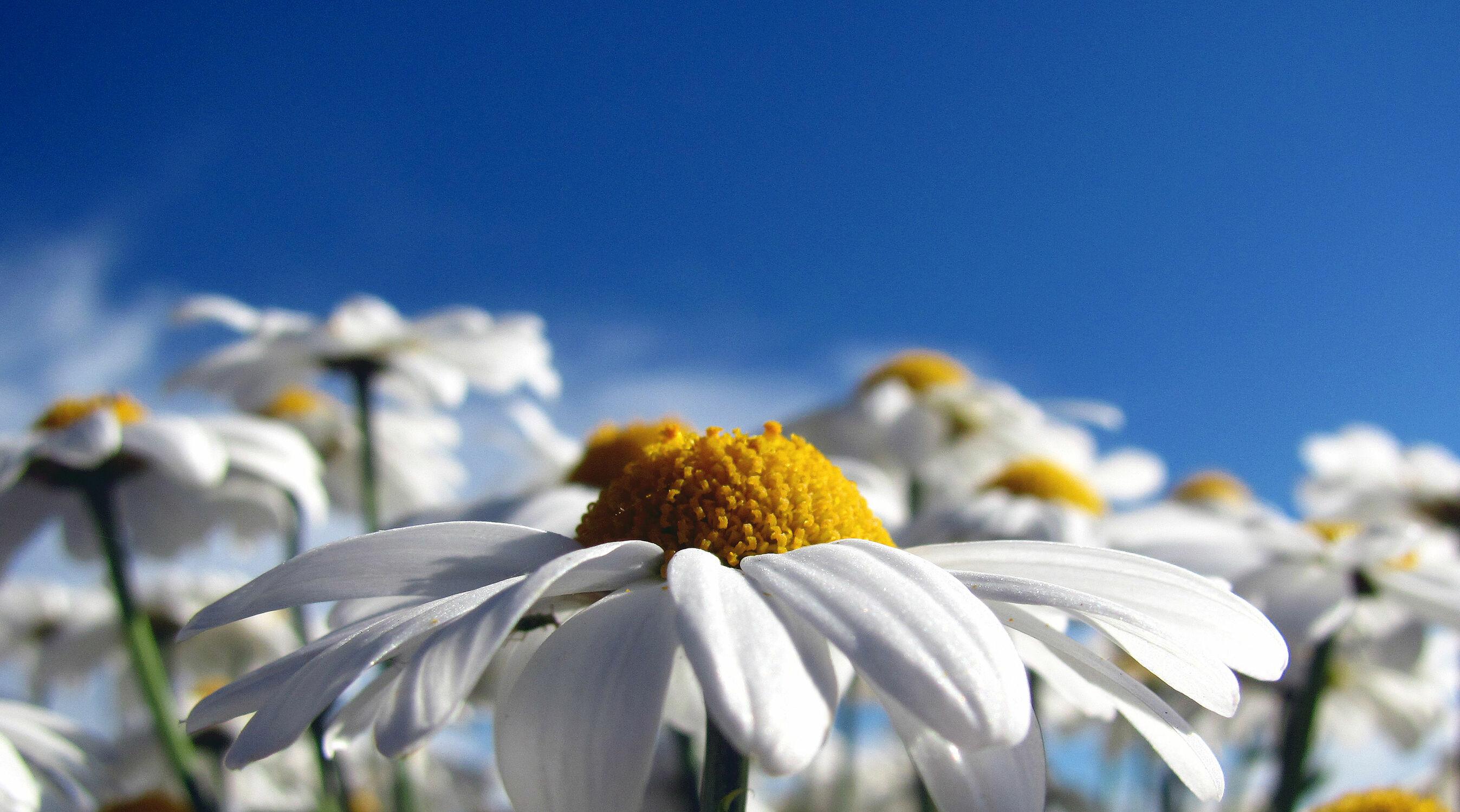 Bild mit Pflanzen, Blumen, Blume, Pflanze, Margariten, Mageriten, magerite