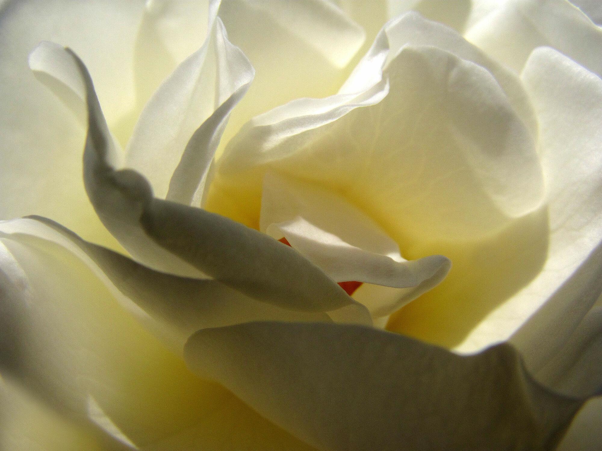 Bild mit Pflanzen, Weiß, Rosa, Frühling, Rosen, Sommer, Pflanze, Rose, romantik, Schönheit, Blüten, blüte, frühjahr, Liebe