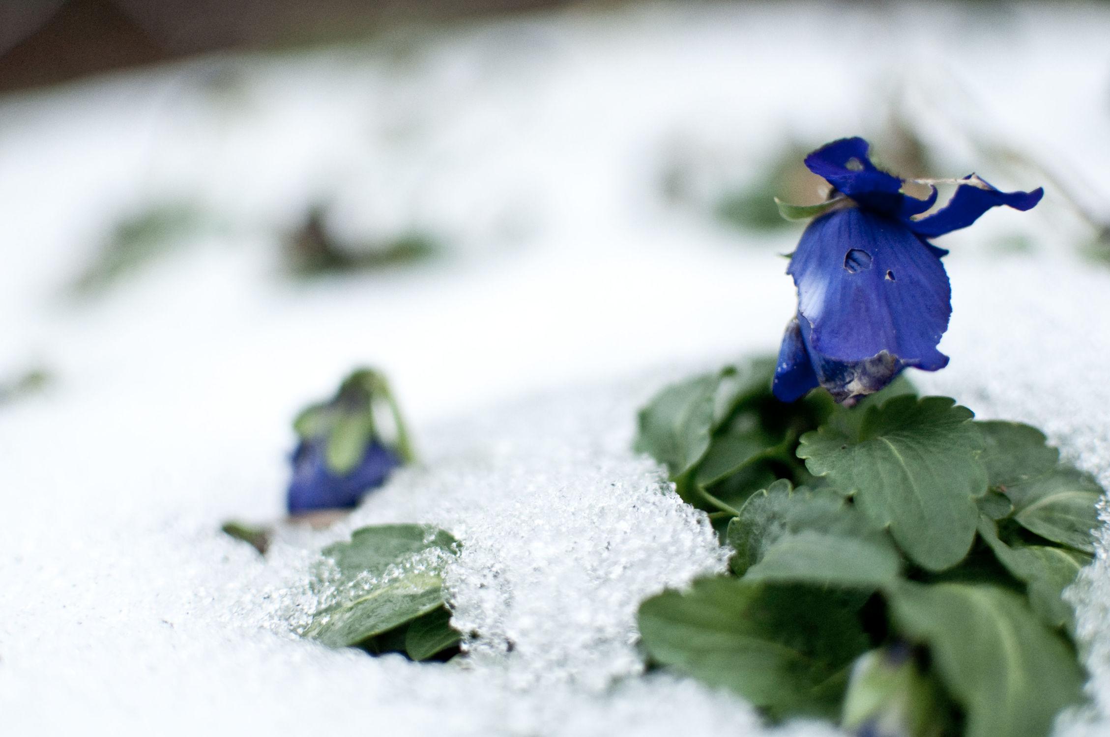 Bild mit Natur, Pflanzen, Winter, Schnee, Blumen, Rosen, Blume, Pflanze, Rose, Roses, Nature, Flower, Flowers, Dark Flowers, Blütenzauber, Blüten, Winterzeit, blüte, dunkel, Frost, Fotografie, Botanik, Dark, dark photografic, natura, Leidenschaft, gothic, gothic style