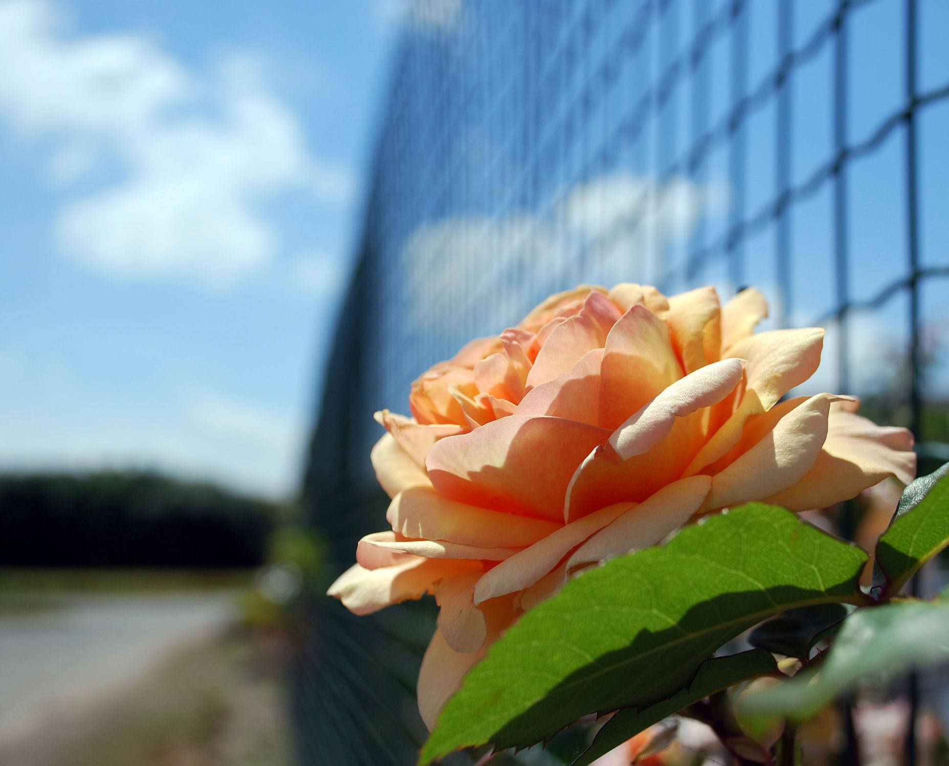 Bild mit Pflanzen, Blumen, Rosen, Blume, Pflanze, Rose