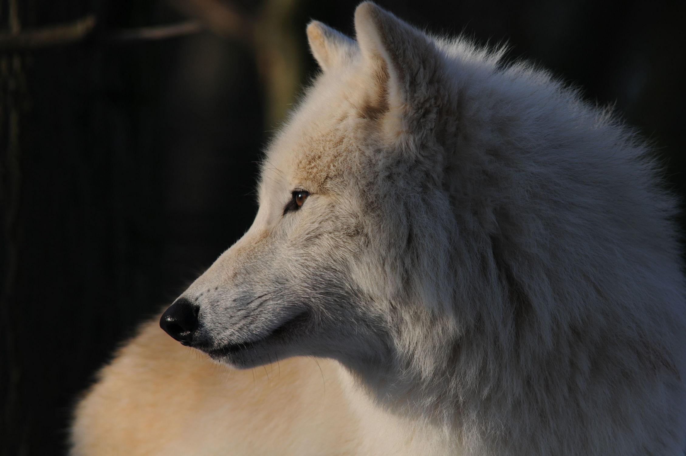 Bild mit Tiere, Natur, Tier, Tierisches, Tierwelt, Wildnis, Wolf, Wölfe, weißer Wolf