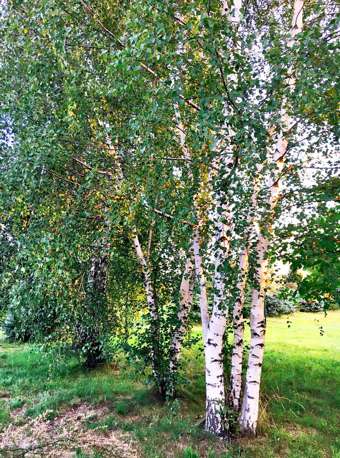 Bild mit Natur, Grün, Bäume, Weiß, Laubbäume, Birken, Baumkrone, Baum, Birke, Betula, Baumstamm, Birkenblätter, Birkengewächs, Betulaceae, Hänge-Birke, Betula pendula, Betula alba, Betula verrucosa, Sandbirke, Weißbirke, Warzenbirke, althochdeutsch Bircha, Birkenstamm, Birken-Optik, Laubbaum, Nature, Tree, Baumstämme, Birke am Wegrand