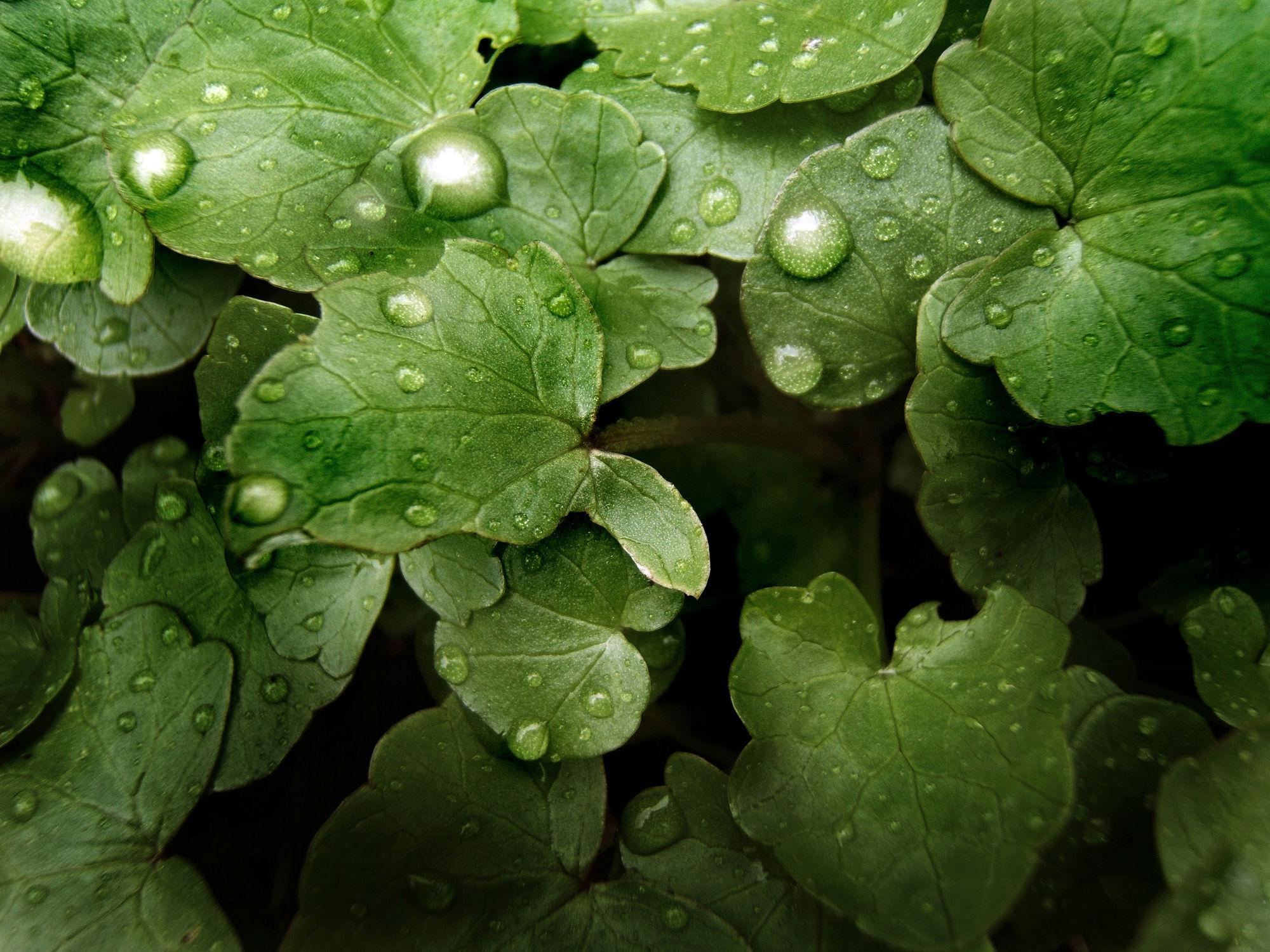 Bild mit Natur, Grün, Pflanzen, Blumen, Blätter, Pflanze, Blatt, Wassertropfen, Regentropfen, Wasserperlen, Tropfen, Flora