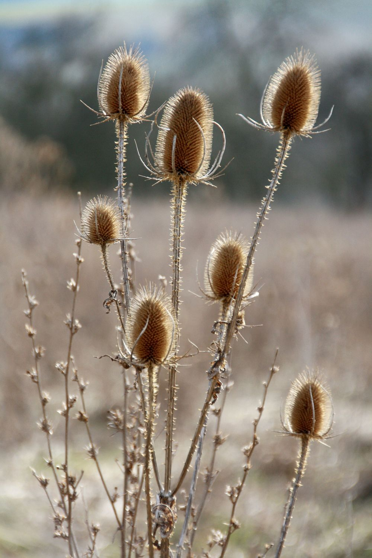 Bild mit Pflanzen, Blumen, Disteln, Blume, Pflanze, Distel