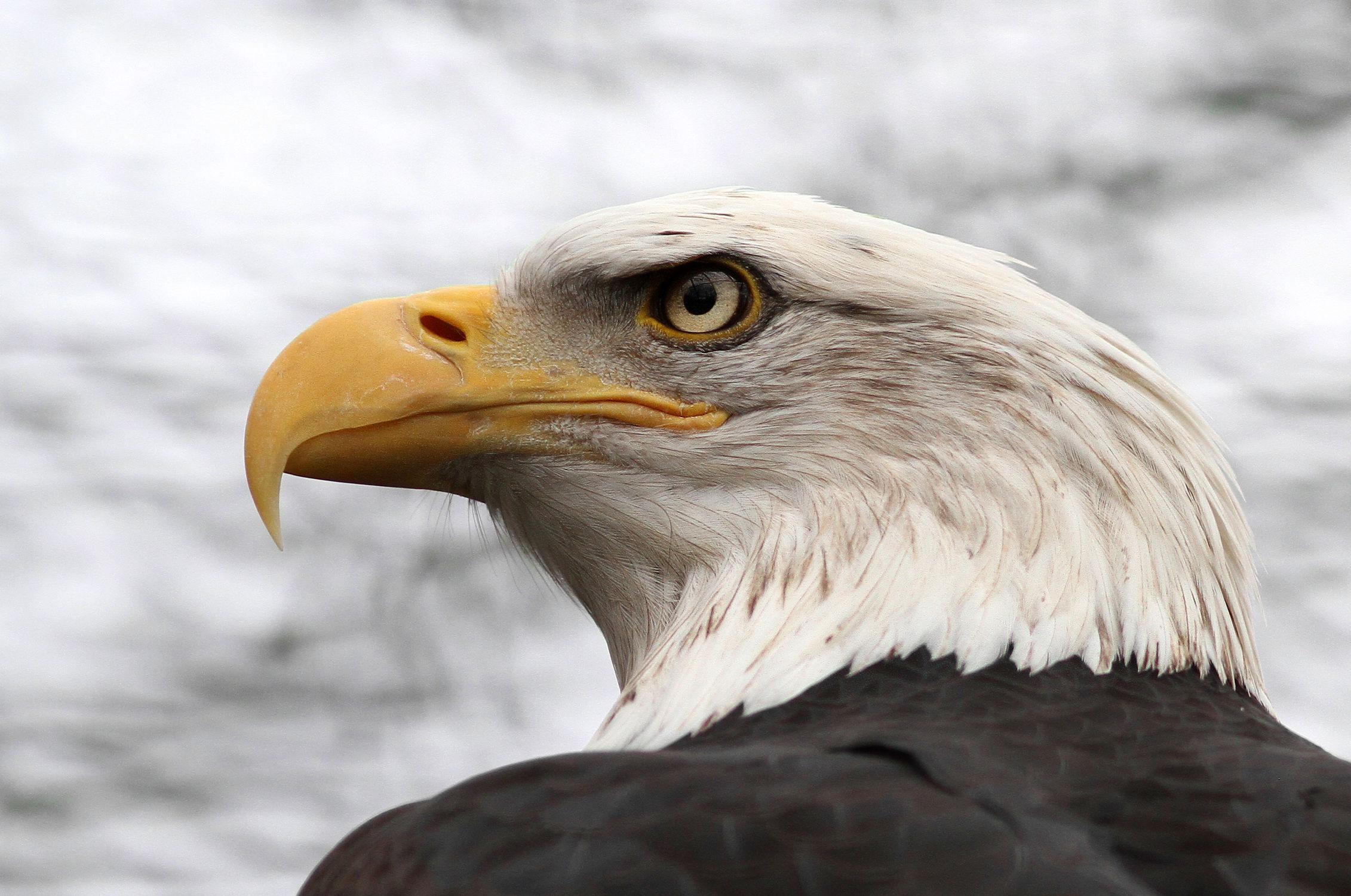 Bild mit Tiere, Natur, Vögel, Vögel, Greifvögel, Greifvögel, Tier, Adler, Wappenvogel, Weißkopfseeadler
