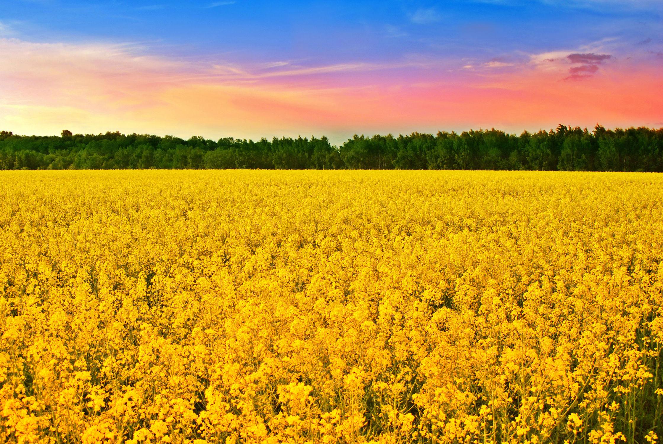 Bild mit Farben, Gelb, Natur, Natur, Grün, Pflanzen, Landschaften, Himmel, Bäume, Wolken, Blumen, Frühling, Rot, Sonnenuntergang, Raps, Wald, Baum, Landschaft, Pflanze, Feld, Bunt, Energie, Rapsfeld, rapsöl
