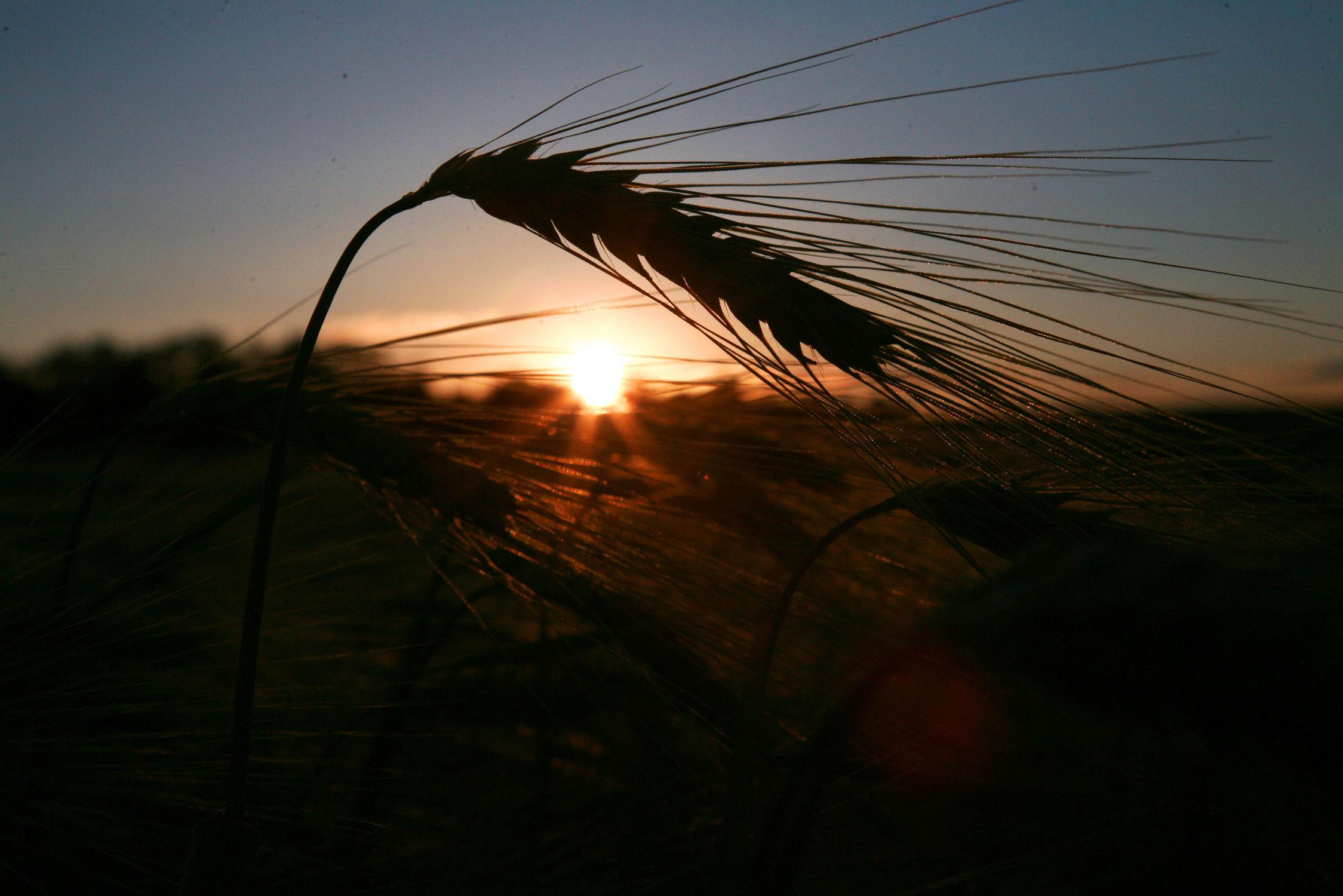 Bild mit Getreide, Feld, Felder, Felder & Wiesen, landwirtschaft, Weizen, Anbau
