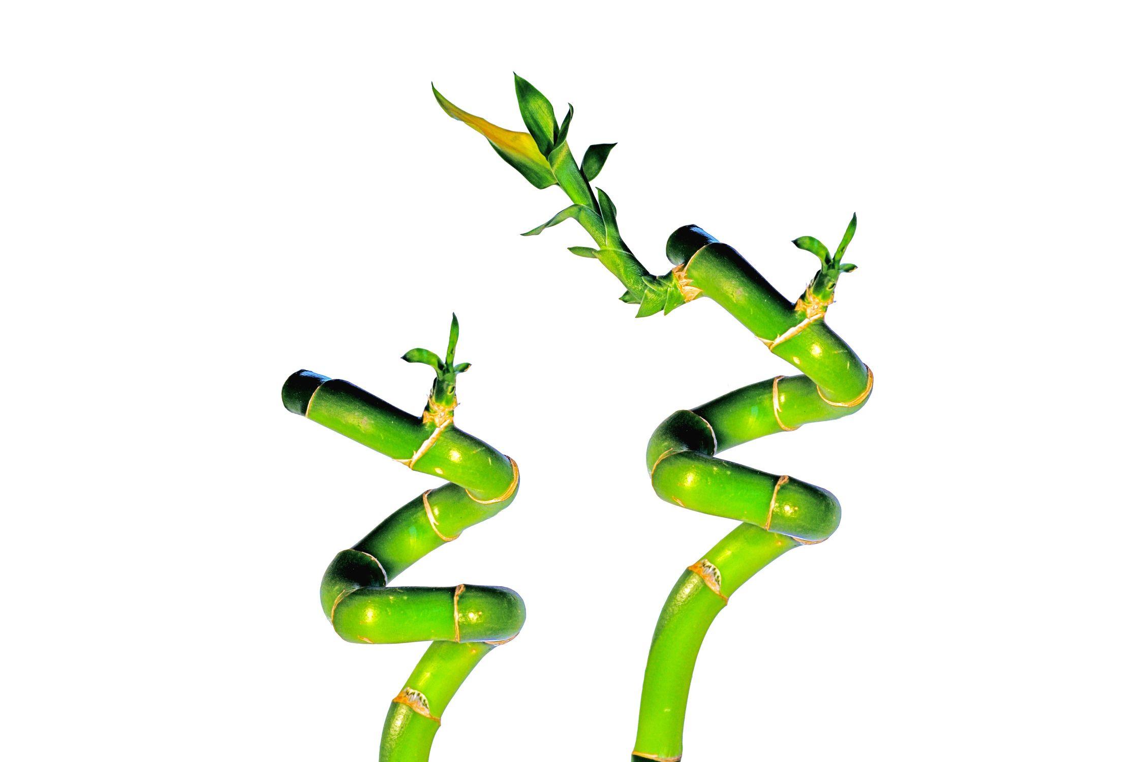 Bild mit Farben, Natur, Grün, Pflanzen, Bambus, Glücksbambus, Bambusoideae, Dracaena braunii syn. sanderiana, Drachenbaum, bamboo, lucky bamboo, zen
