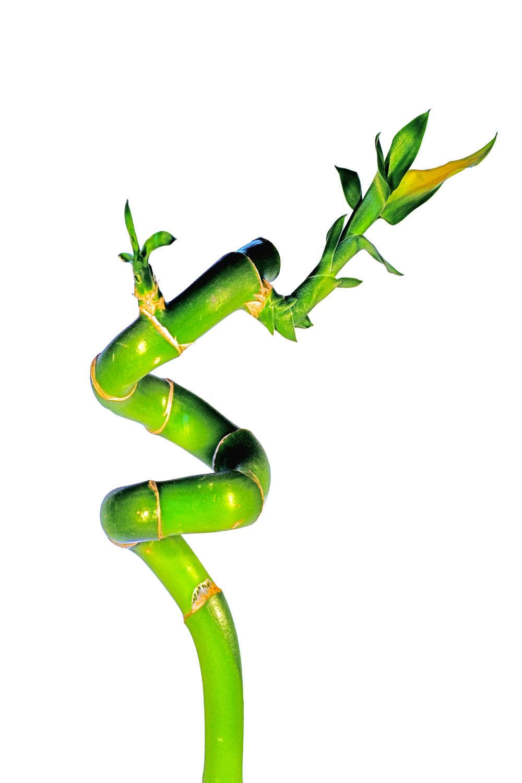 Bild mit Farben, Natur, Grün, Pflanzen, Bambus, Glücksbambus, Bambusoideae, Dracaena braunii syn. sanderiana, Drachenbaum, bamboo, lucky bamboo