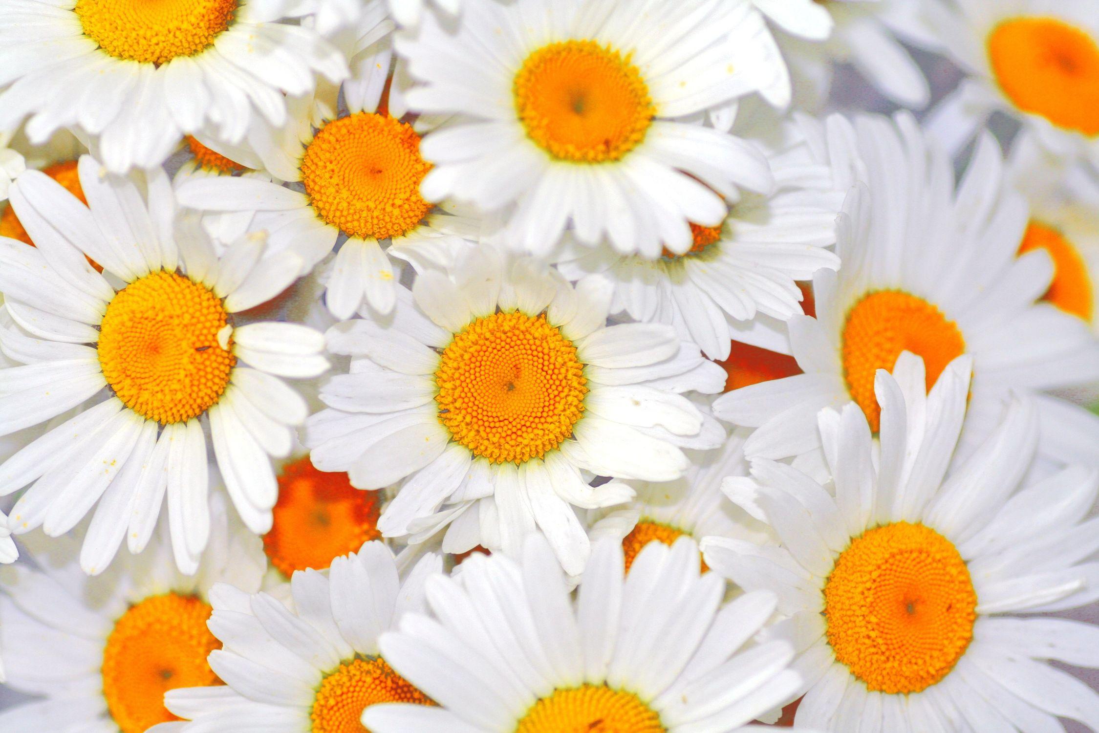Bild mit Natur, Pflanzen, Blumen, Korbblütler, Gerberas, Kamillen, Blume, Pflanze