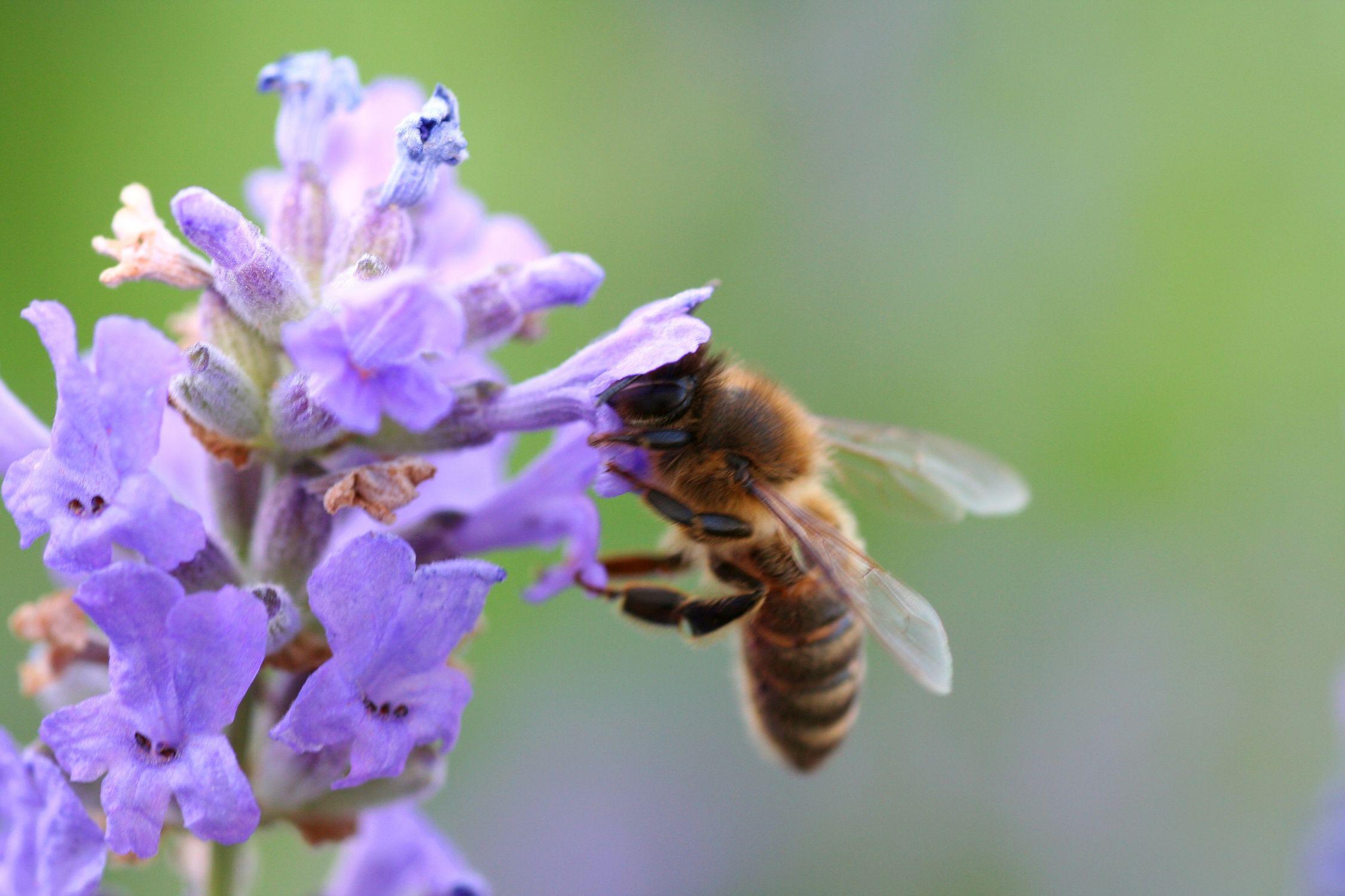 Bild mit Tiere, Natur, Pflanzen, Jahreszeiten, Blumen, Frühling, Insekten, Hautflügler, Bienen, Sträucher, Lavendel, Hummeln