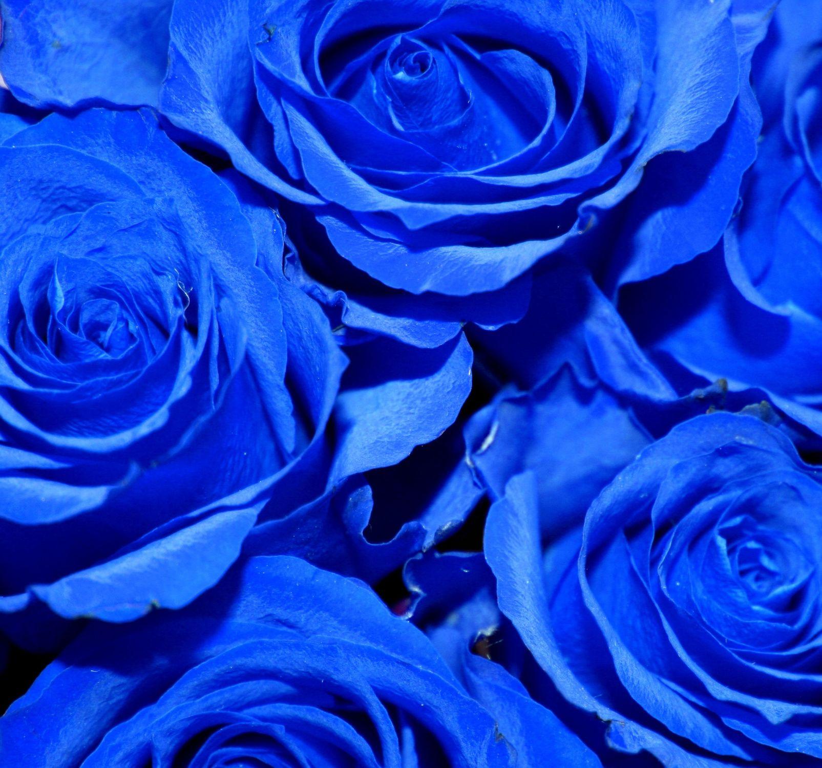 Bild mit Farben, Natur, Pflanzen, Blumen, Blumen, Rosa, Rosen, Blau, Blau, Kobaltblau, Blume, Pflanze, Rose, Roses, Rosenblüte, Flower, Flowers, osaceae, Blumenstrauß, blaue Rose, Blue Rose, Rosenstrauß