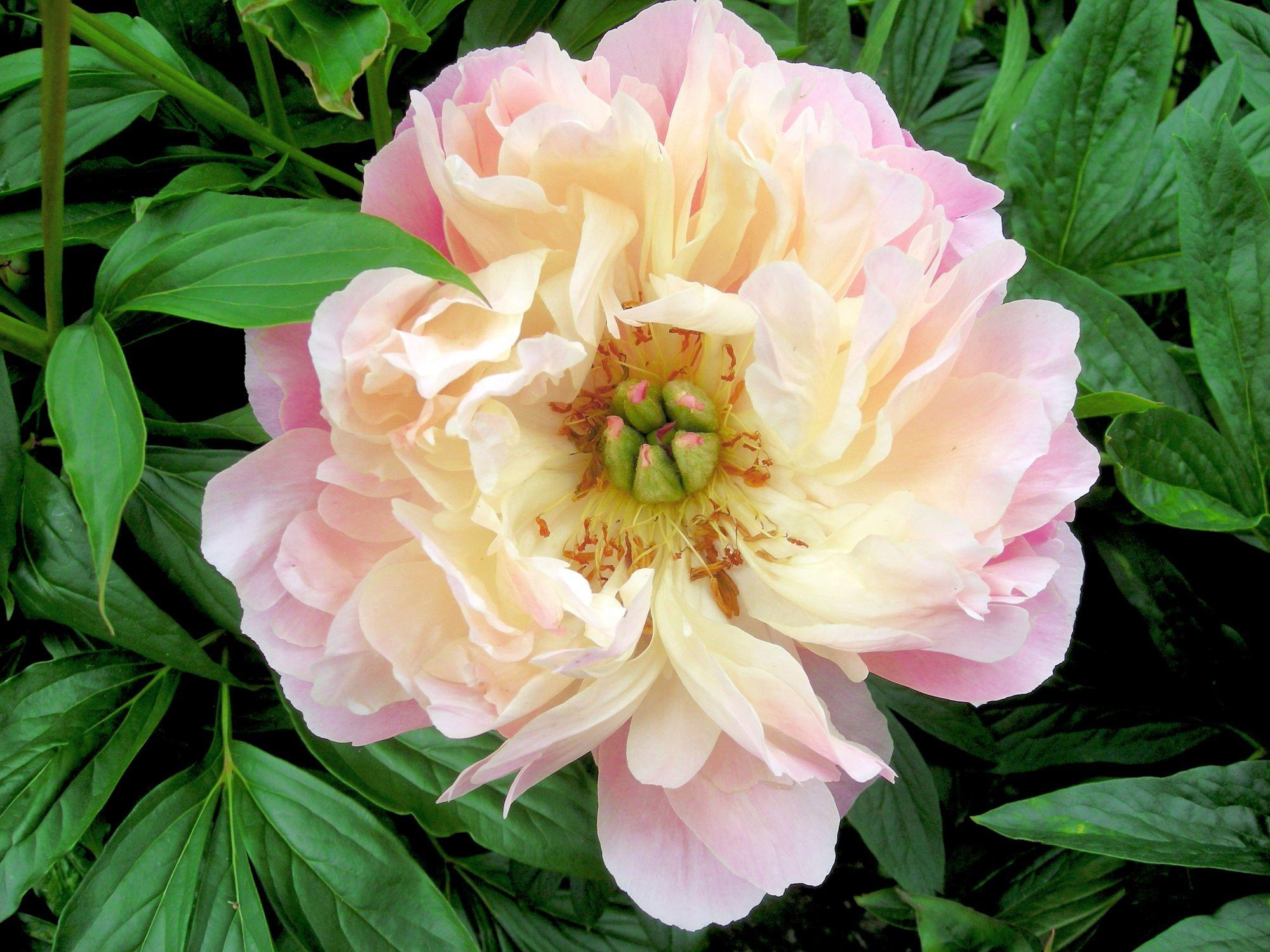 Bild mit Farben, Natur, Pflanzen, Blumen, Rosa, Rosen