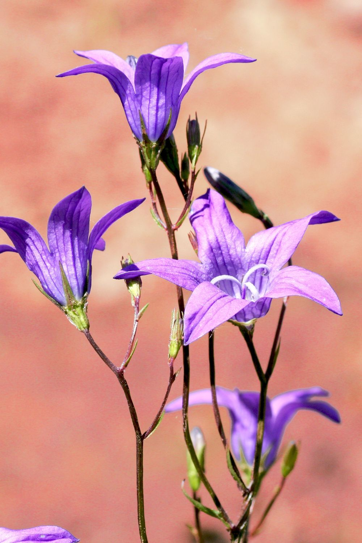 Bild mit Natur, Pflanzen, Blumen, Glockenblumen, Blume, Pflanze