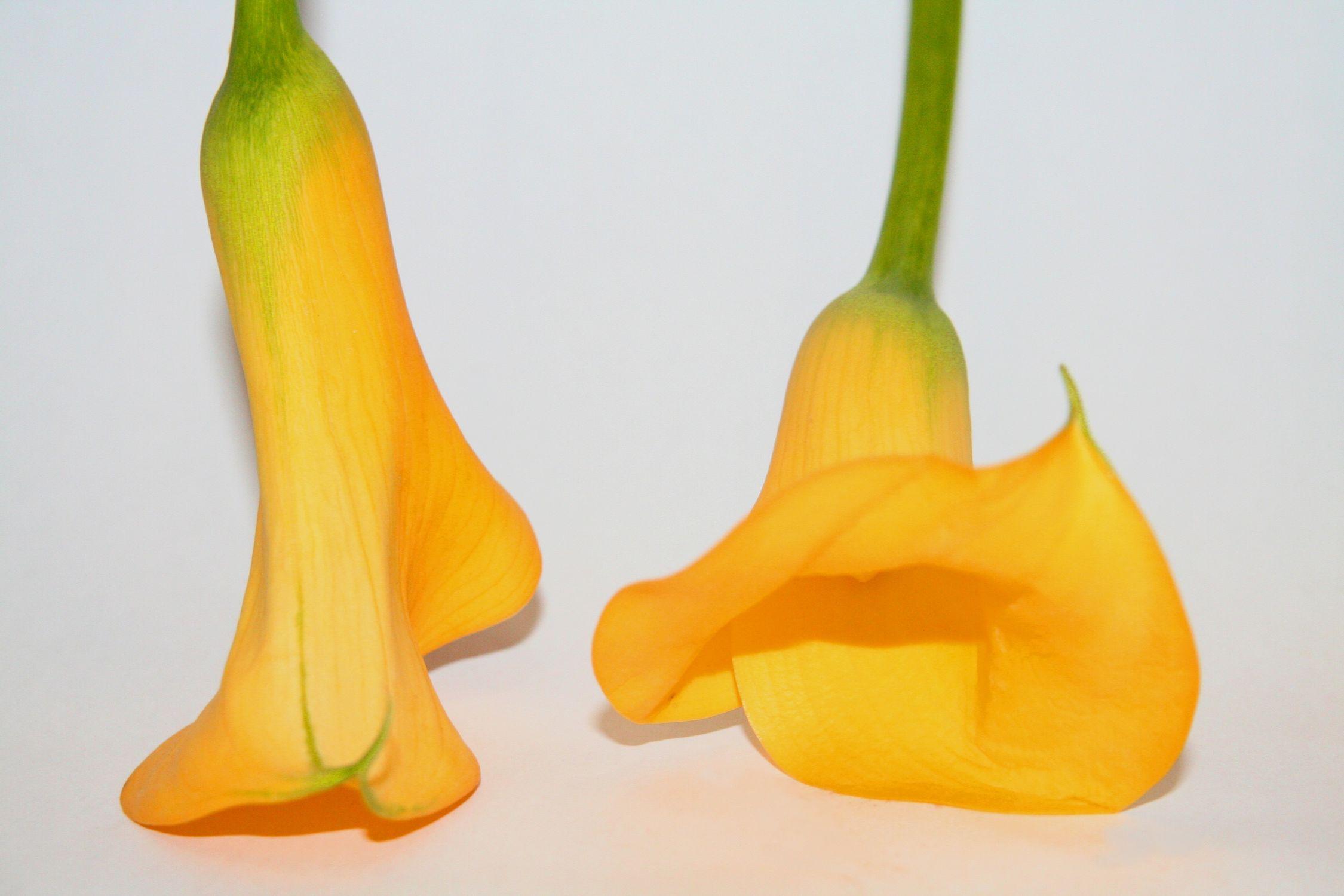 Bild mit Farben, Gelb, Natur, Grün, Pflanzen, Blumen, Blume, calla lily, Calla, Zantedeschien, Callas, Kalla, Zantedeschia, Calla lillies, gelbe Calla