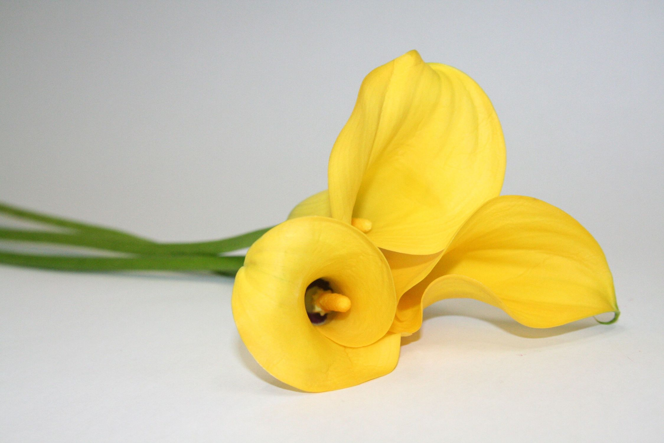 Bild mit Natur, Pflanzen, Blumen, Blume, calla lily, Calla, Zantedeschien, Callas, Kalla, gelbe Calla
