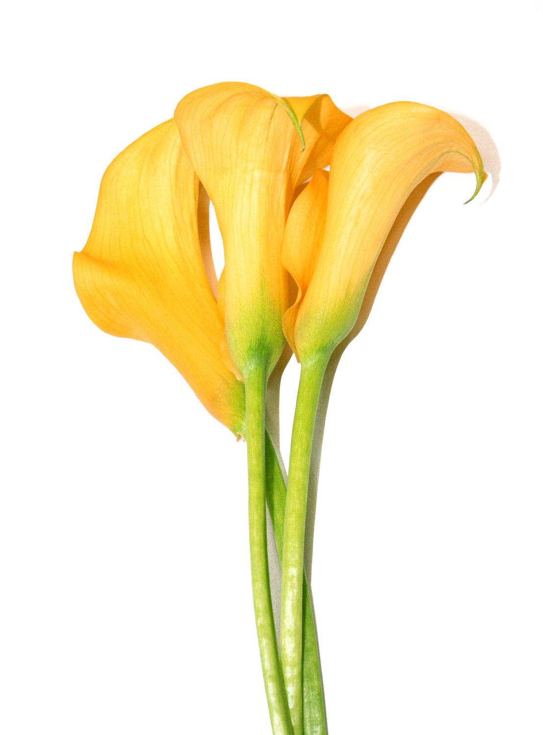 Bild mit Farben, Orange, Gelb, Gegenstände, Natur, Grün, Pflanzen, Blumen, Blume, calla lily, Calla, Calla, Zantedeschien, Callas, Kalla, kalós, καλός, Zantedeschia, Calla lillies, gelbe Calla, Lilien