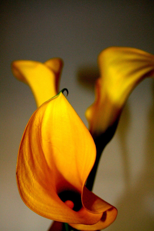 Bild mit Farben, Orange, Gelb, Natur, Grün, Pflanzen, Blumen, Blume, calla lily, Calla, Zantedeschien, Callas, Kalla, gelbe Calla, Lilien
