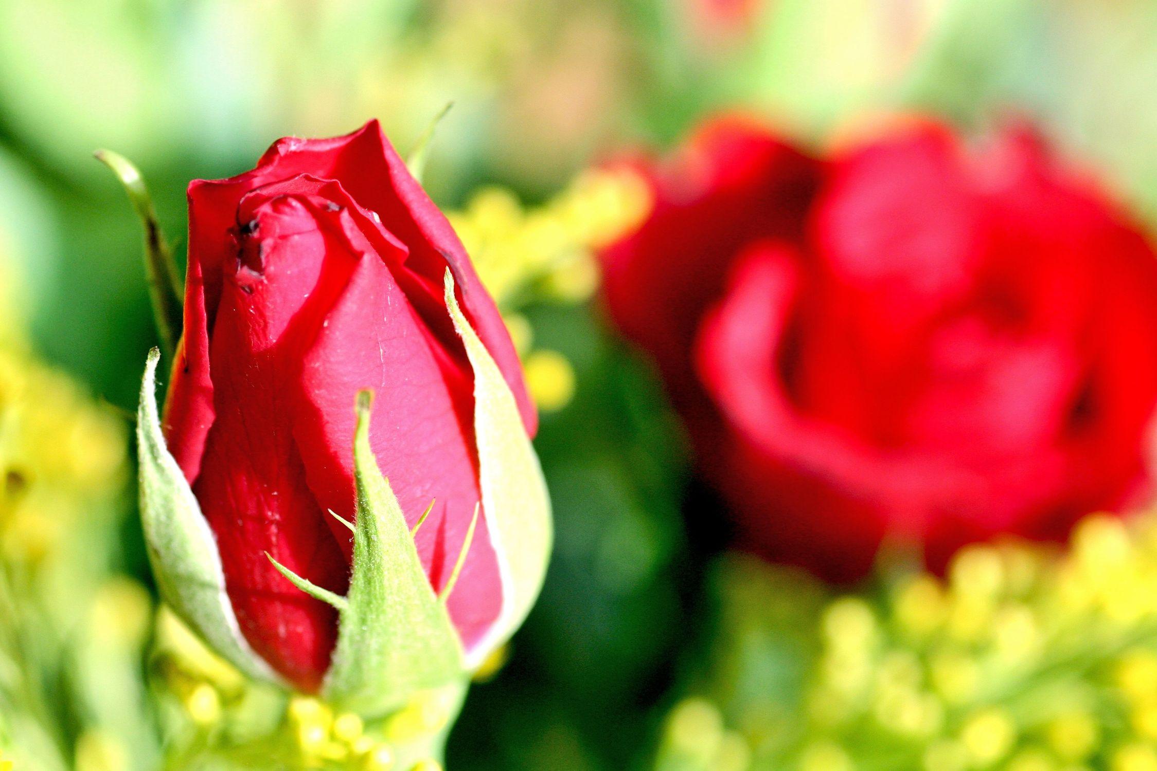 Bild mit Farben, Gelb, Natur, Grün, Pflanzen, Jahreszeiten, Blumen, Blumen, Rosa, Frühling, Rot, Rot, Rosen, Blau, Blume, Pflanze, Rose, Roses, rote Rose, Gegenlicht, Flower, Flowers, red Rose, osaceae, Blumenstrauß, Rosenstrauß