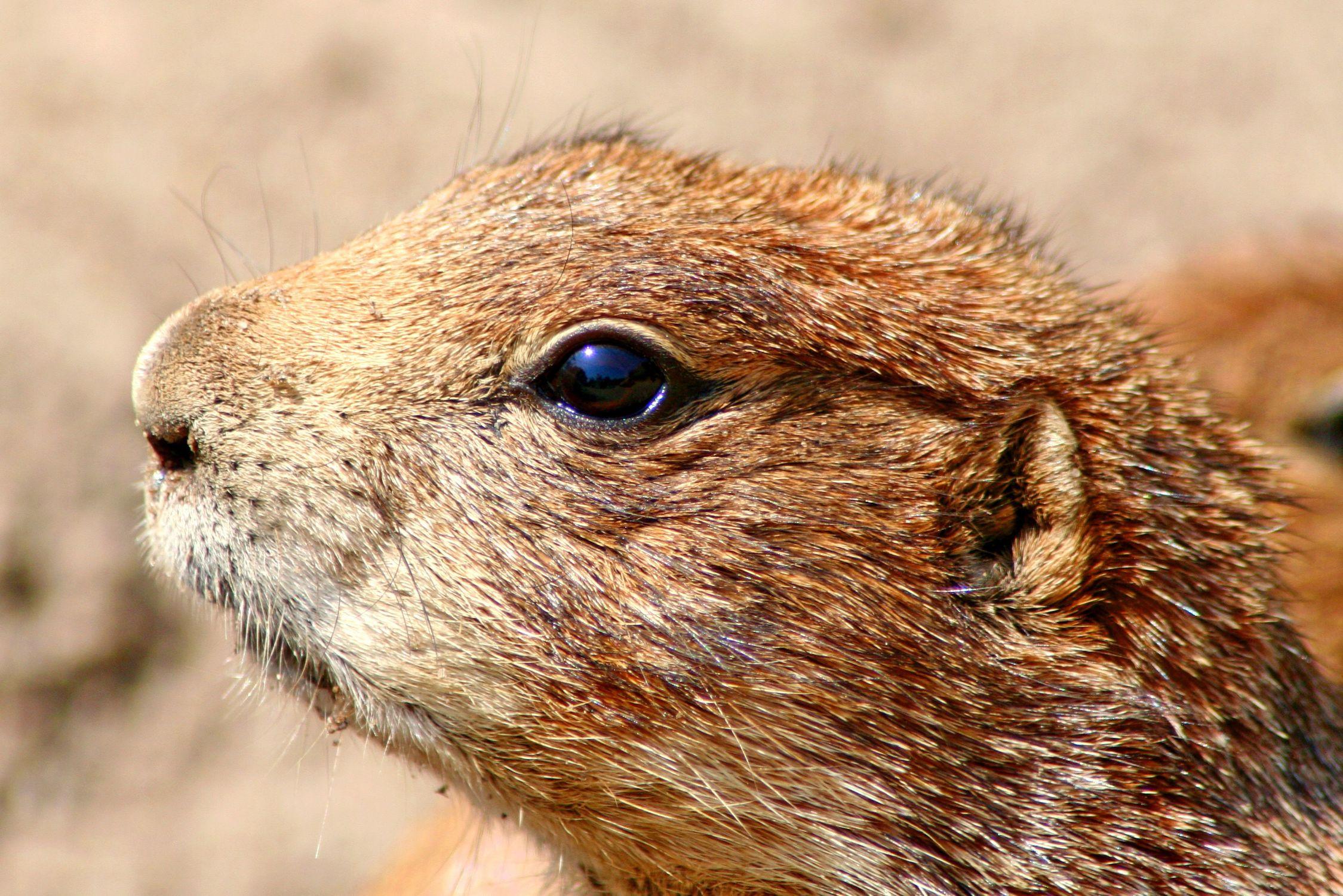 Bild mit Tiere, Säugetiere, Nagetiere, Ratten, Taschenratten, Hörnchen, Erdhörnchen, Biber