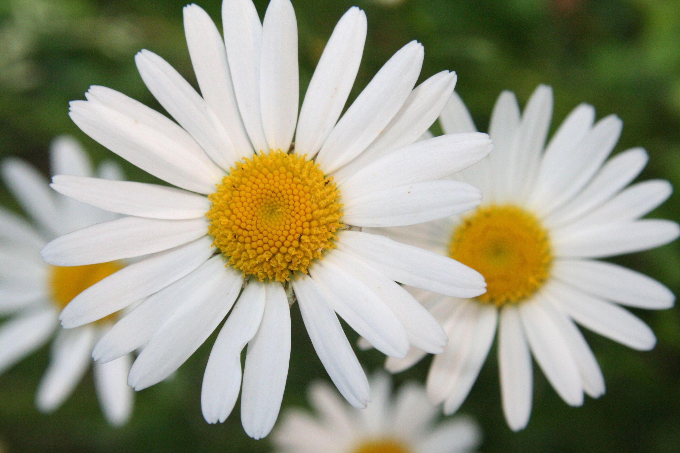 Bild mit Farben, Gelb, Natur, Pflanzen, Jahreszeiten, Blumen, Weiß, Frühling, Korbblütler, Kamillen, Kräuter, Minze, Astern