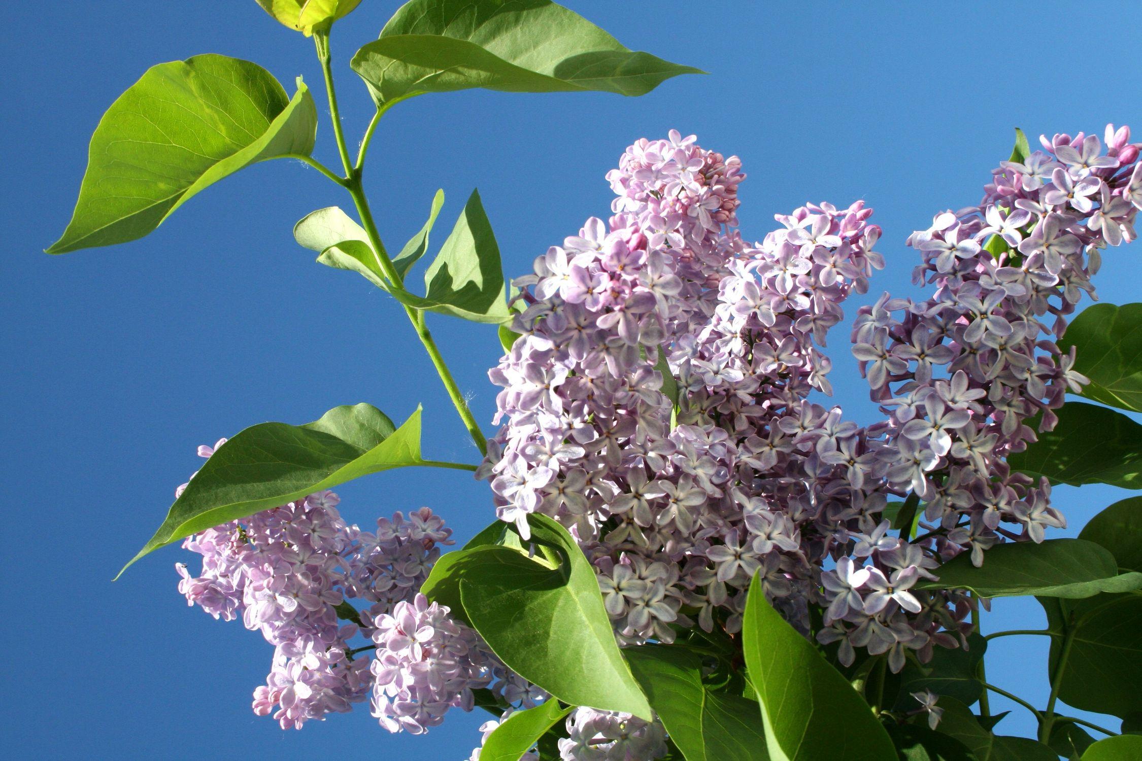 Bild mit Farben, Natur, Pflanzen, Bäume, Blumen, Lila, Baum, Blume, Pflanze