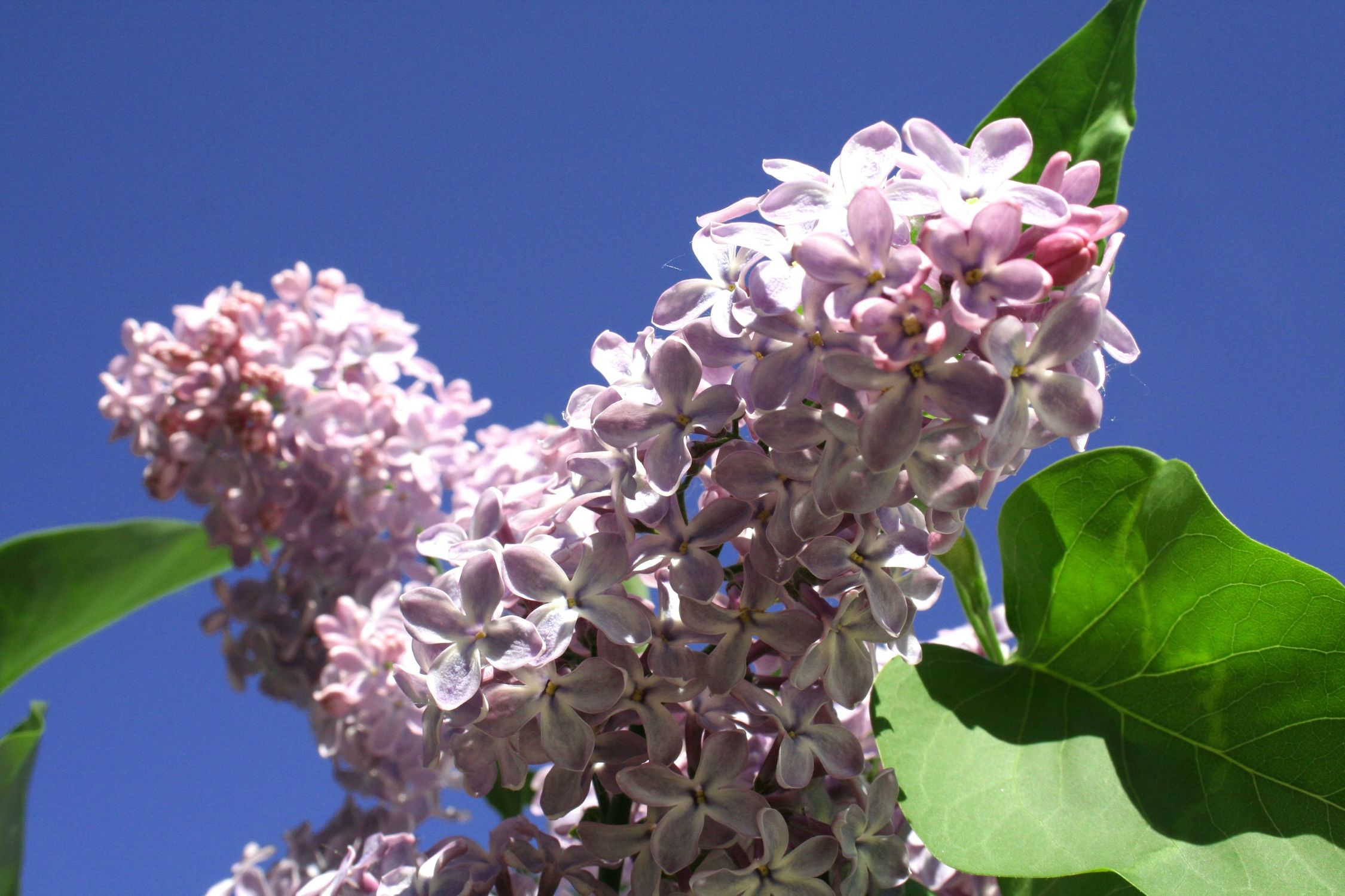 Bild mit Farben, Natur, Pflanzen, Jahreszeiten, Blumen, Blumen, Lila, Frühling, flieder