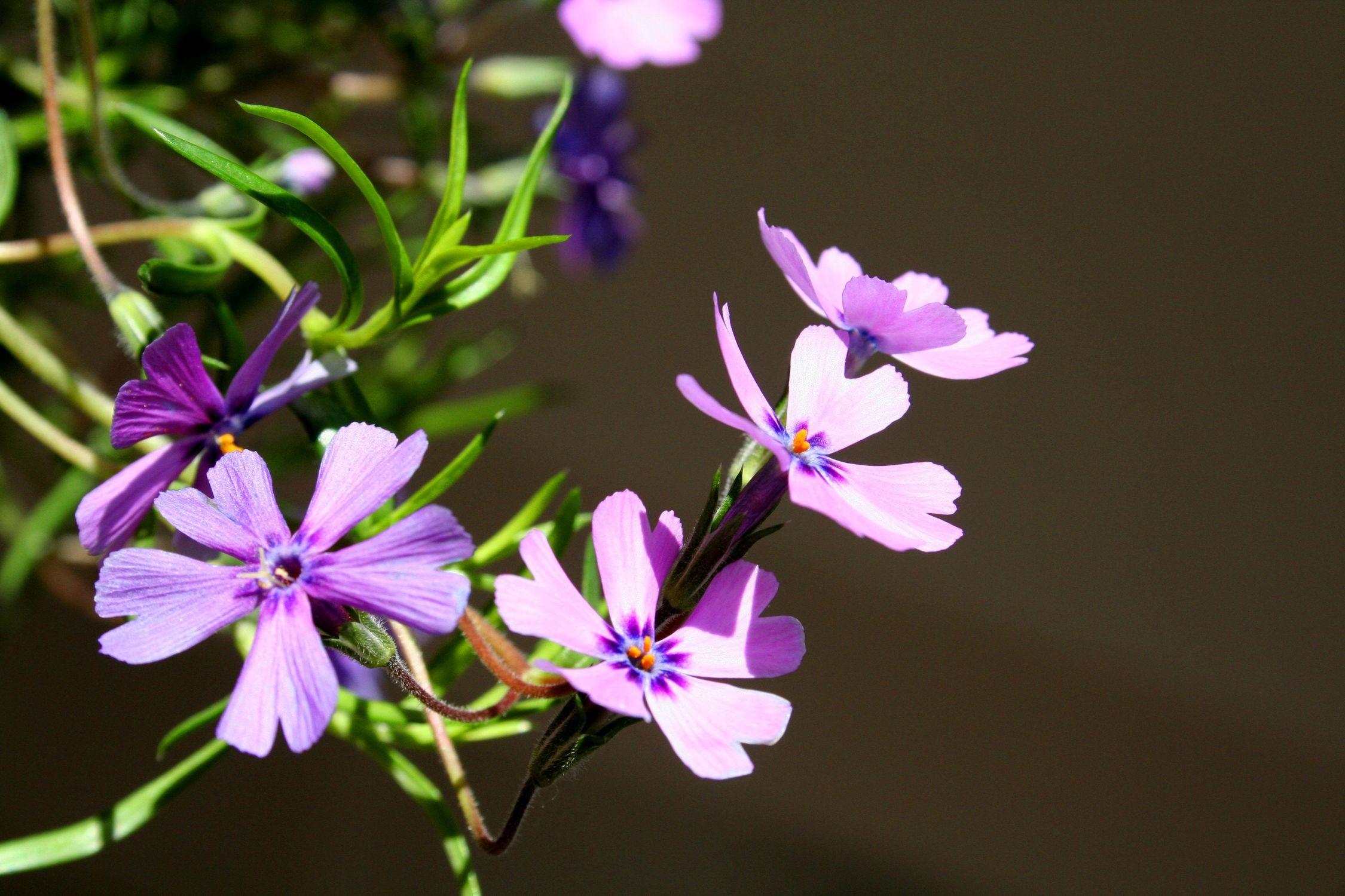 Bild mit Farben, Natur, Pflanzen, Blumen, Rosa, Lila