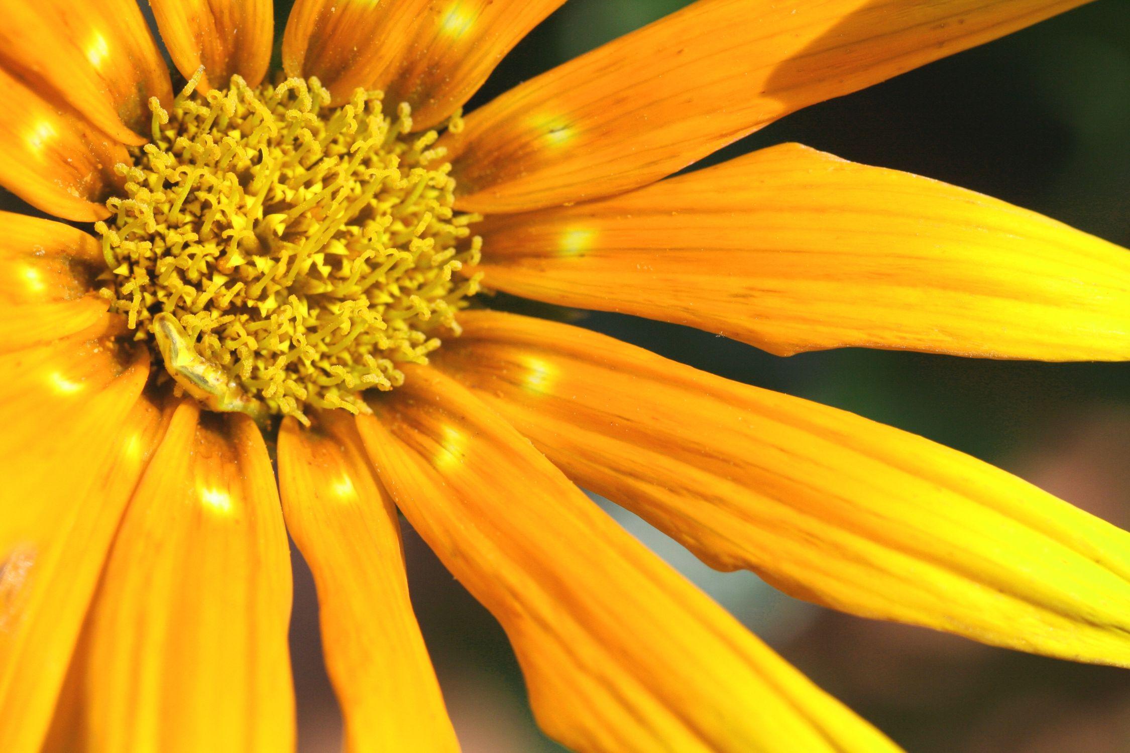 Bild mit Farben, Gelb, Natur, Pflanzen, Blumen, Korbblütler, Sonnenblumen, Blume