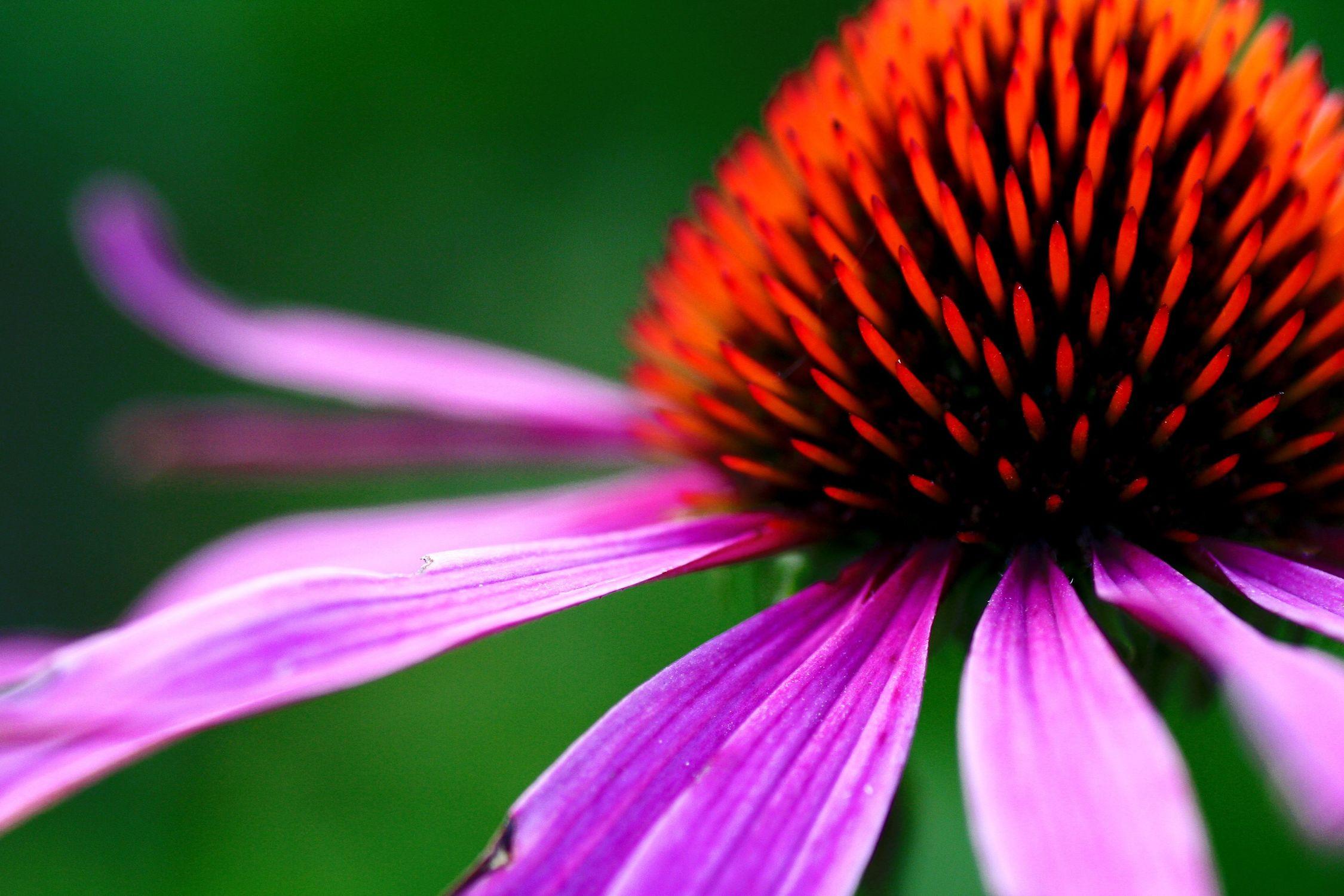 Bild mit Farben, Natur, Pflanzen, Blumen, Rosa, Lila, Korbblütler, Sonnenhüte