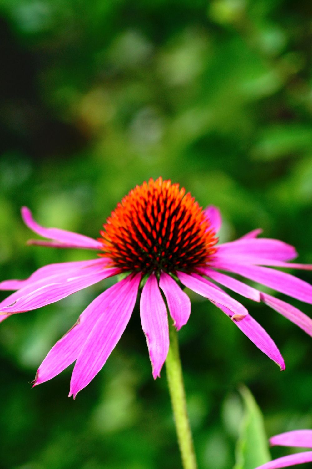 Bild mit Farben, Natur, Pflanzen, Blumen, Rosa, Korbblütler, Sonnenhüte, Blume, Pflanze, Echinacea, Igelkopf, Scheinsonnenhüte