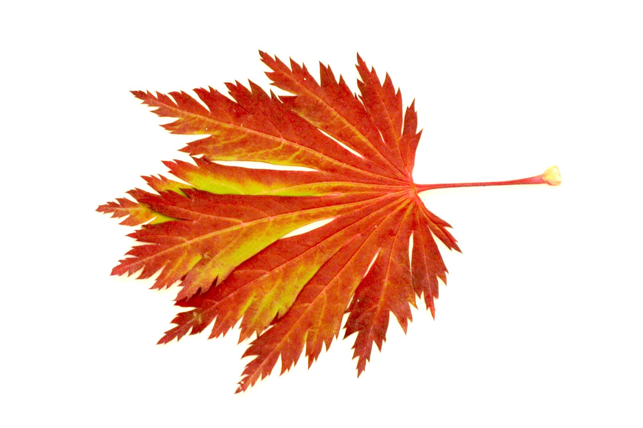 Bild mit Natur, Pflanzen, Bäume, Schmuck, Bernsteine, Struktur, Blätter, Blatt, Blattstruktur, Blätterstruktur