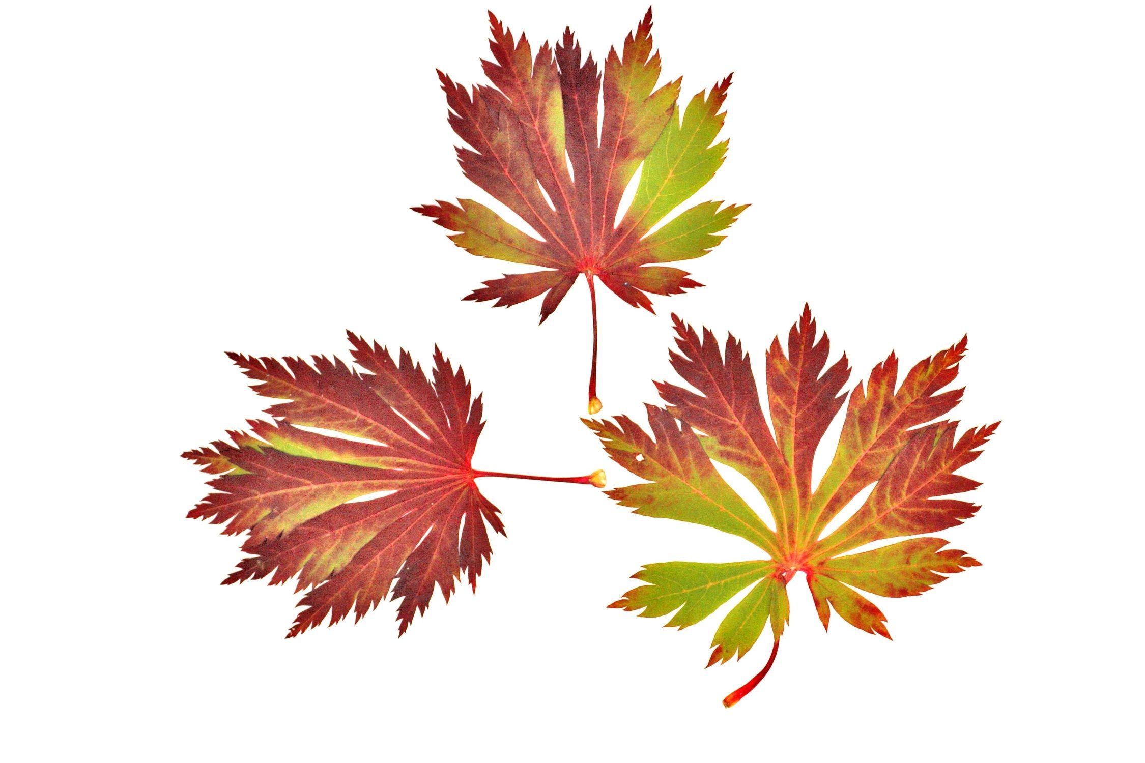 Bild mit Natur, Pflanzen, Bäume, Jahreszeiten, Blumen, Herbst, Struktur, Blätter, Blatt, Blattstruktur, Blätterstruktur