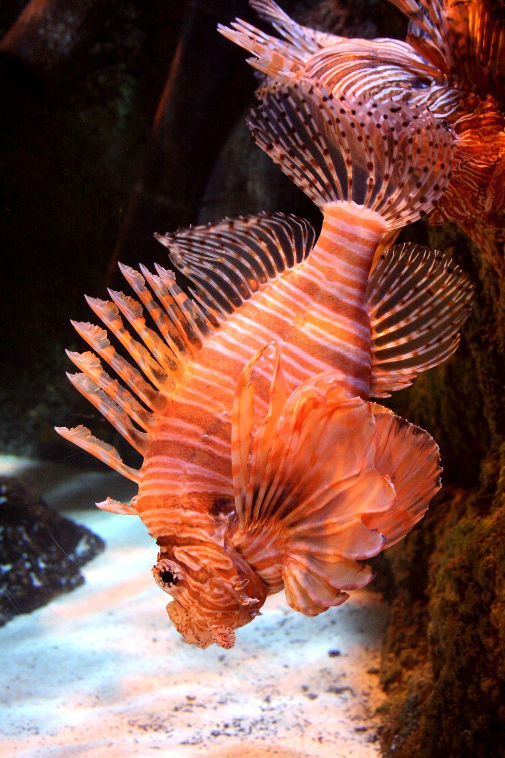 Bild mit Tiere, Natur, Landschaften, Fische, Unterwasser, Aquarien, Skorpionfische, Feuerfische, Tier, Krebse und Weichtiere, Fisch