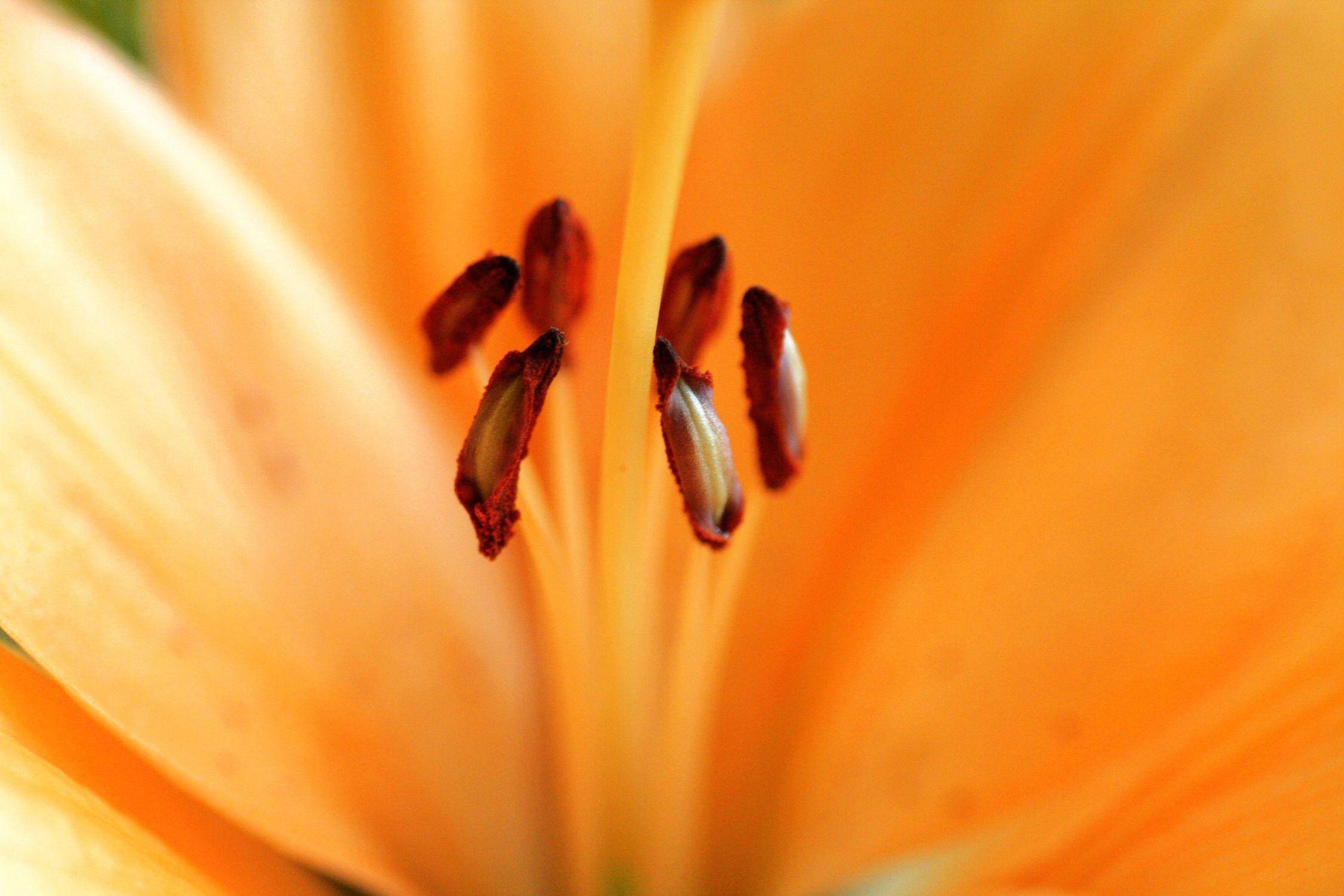 Bild mit Farben, Orange, Gelb, Natur, Pflanzen, Blumen, Blume, Pflanze, Lilie