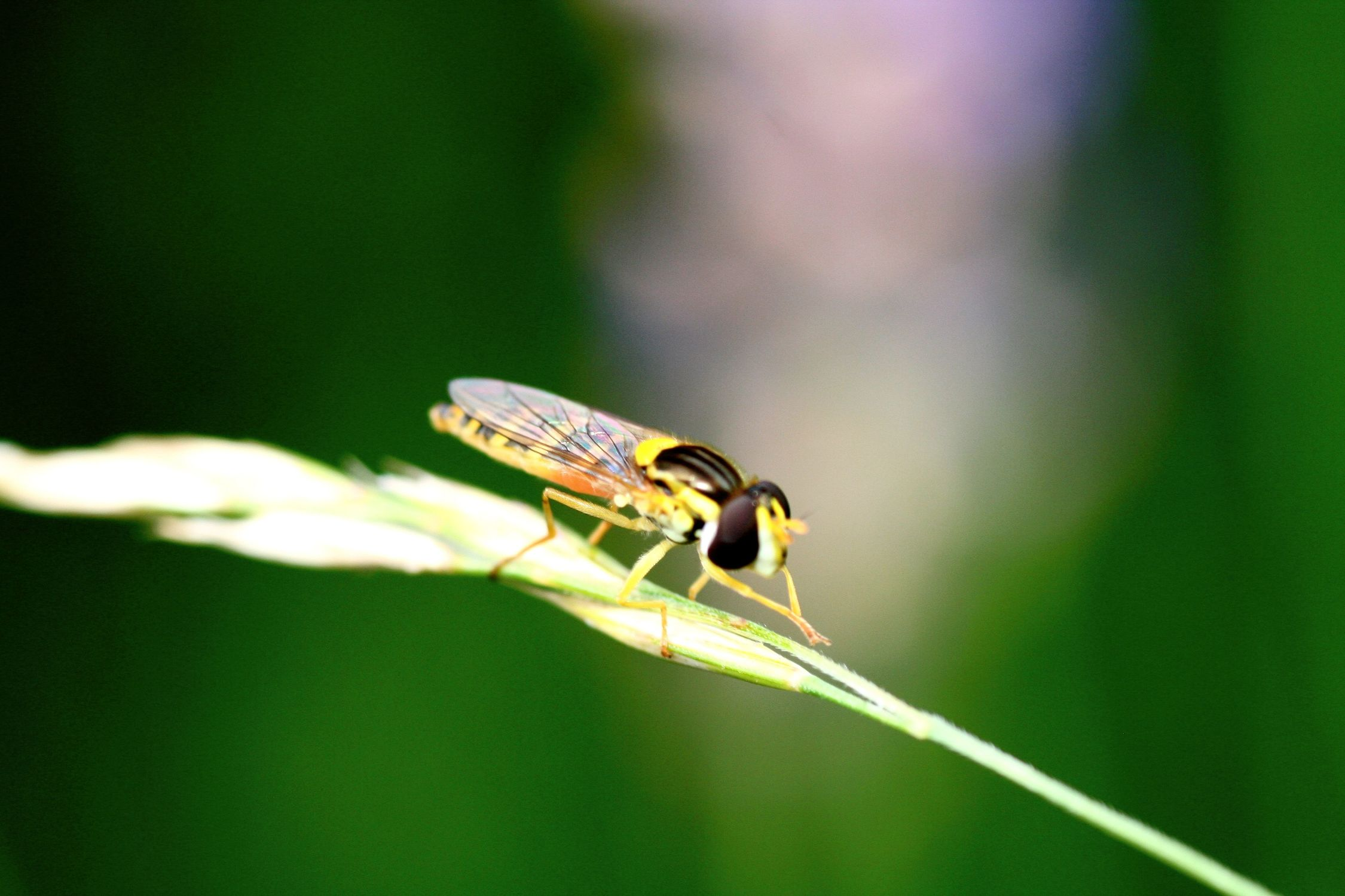 Bild mit Farben, Gelb, Tiere, Natur, Grün, Pflanzen, Insekten, Hautflügler, Wespen, Fliegen