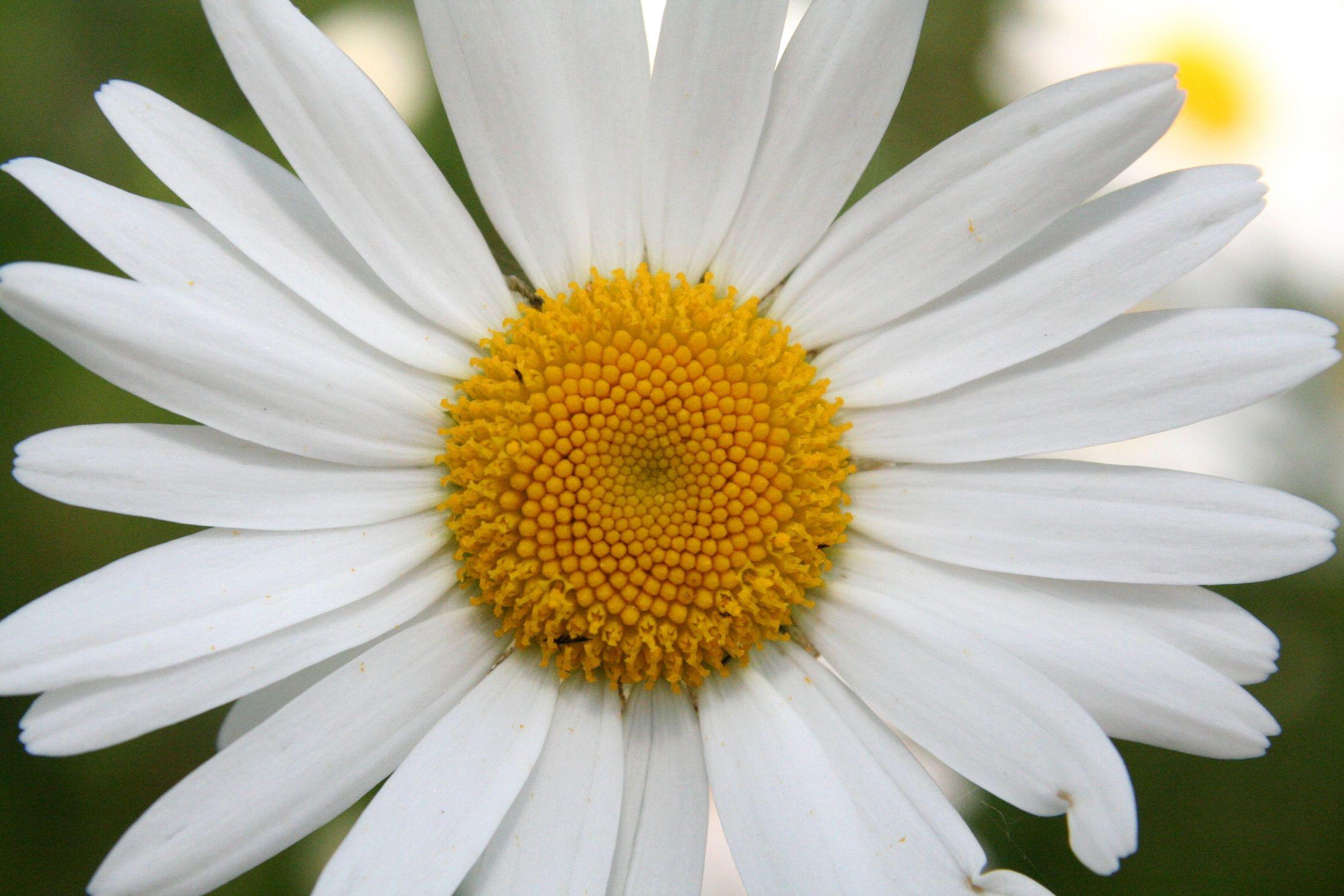Bild mit Farben, Gelb, Natur, Pflanzen, Blumen, Weiß, Korbblütler, Gerberas, Kamillen, Kräuter, Minze