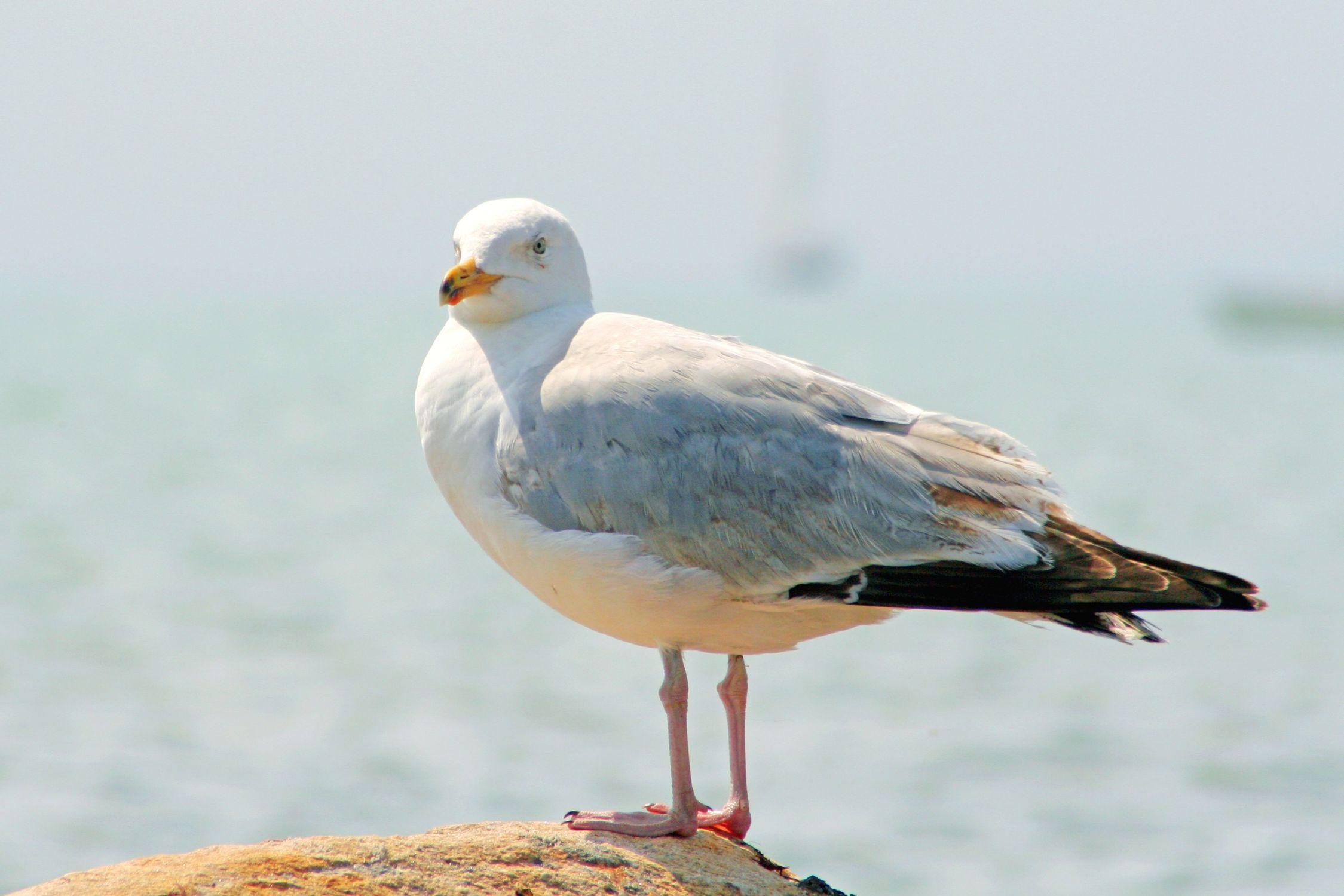 Bild mit Gegenstände, Tiere, Natur, Vögel, Wasservögel, Möwen, Federn