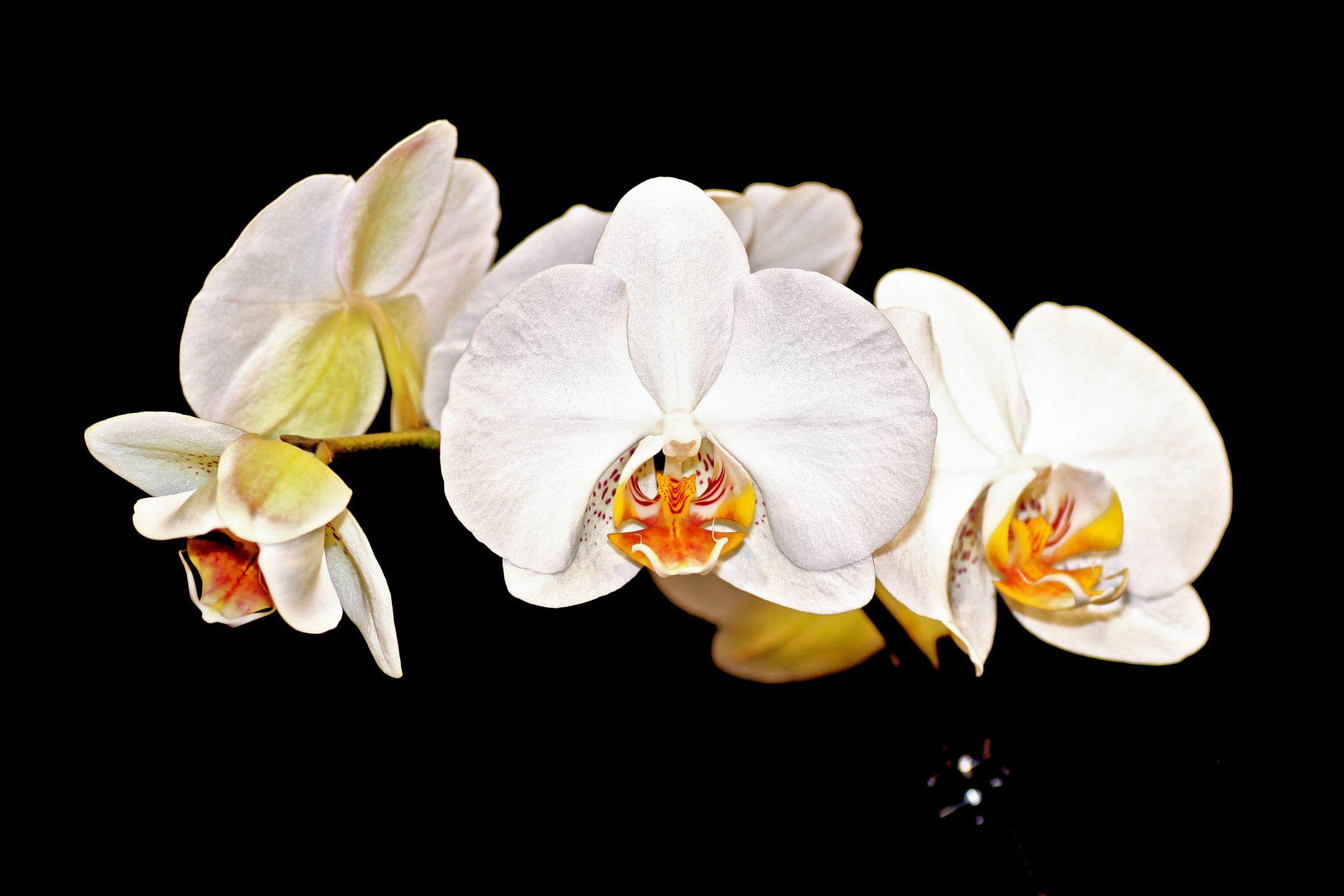 Bild mit Natur, Pflanzen, Blumen, Orchideen, Blume, Orchidee, Orchid, Orchids, Orchideengewächse, Pflanze, Orchidaceae, Grammatophyllum speciosum, weiße Orchideen vor schwarzen Hintergrund, Tiger Orchidee