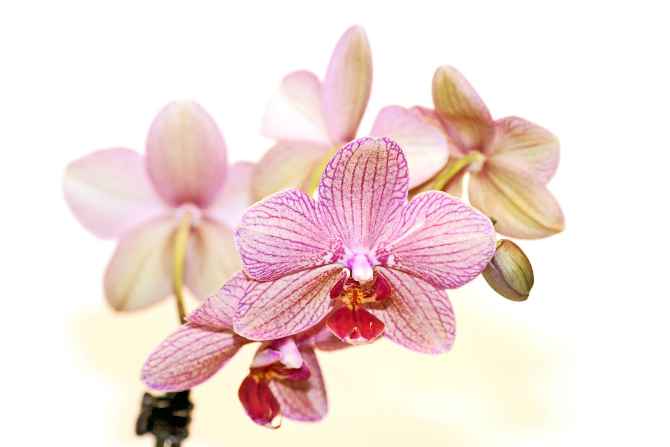 Bild mit Farben, Natur, Pflanzen, Blumen, Rosa, Orchideen, Blume, Orchidee, Orchidee, Orchid, Orchids, Orchideengewächse, Pflanze, Orchidaceae, Grammatophyllum speciosum, Orchideen vor weißem Hintergrund, Tiger