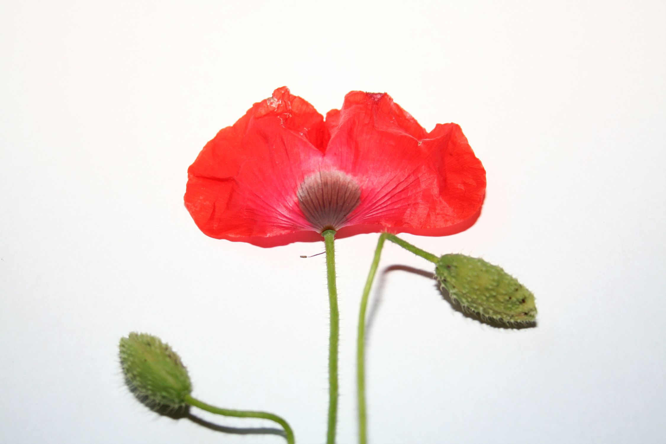 Bild mit Farben, Natur, Pflanzen, Blumen, Mohn, Pflanze, Mohnblume, Mohneblumen, Poppy, Poppies, Mohnpflanze, Klatschmohn, Klatschrose, Papaver, Mohngewächse, Papaveraceae