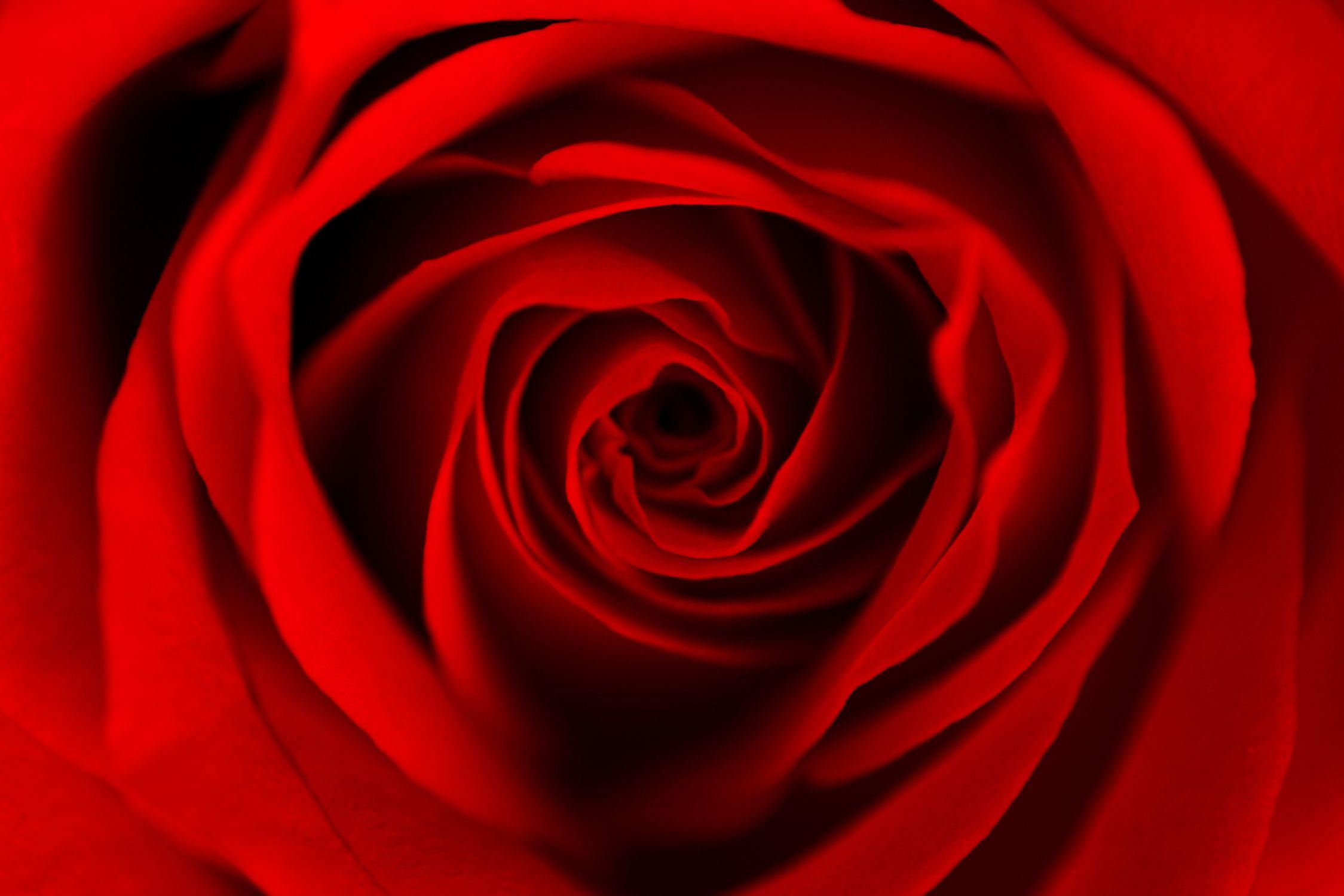 Bild mit Natur, Pflanzen, Blumen, Blumen, Rosen, Blume, Pflanze, Rose, Roses, Makro Rose, rote Rose, Rosenblüte, Flower, Flowers, Makrofotografie einer roten Rose