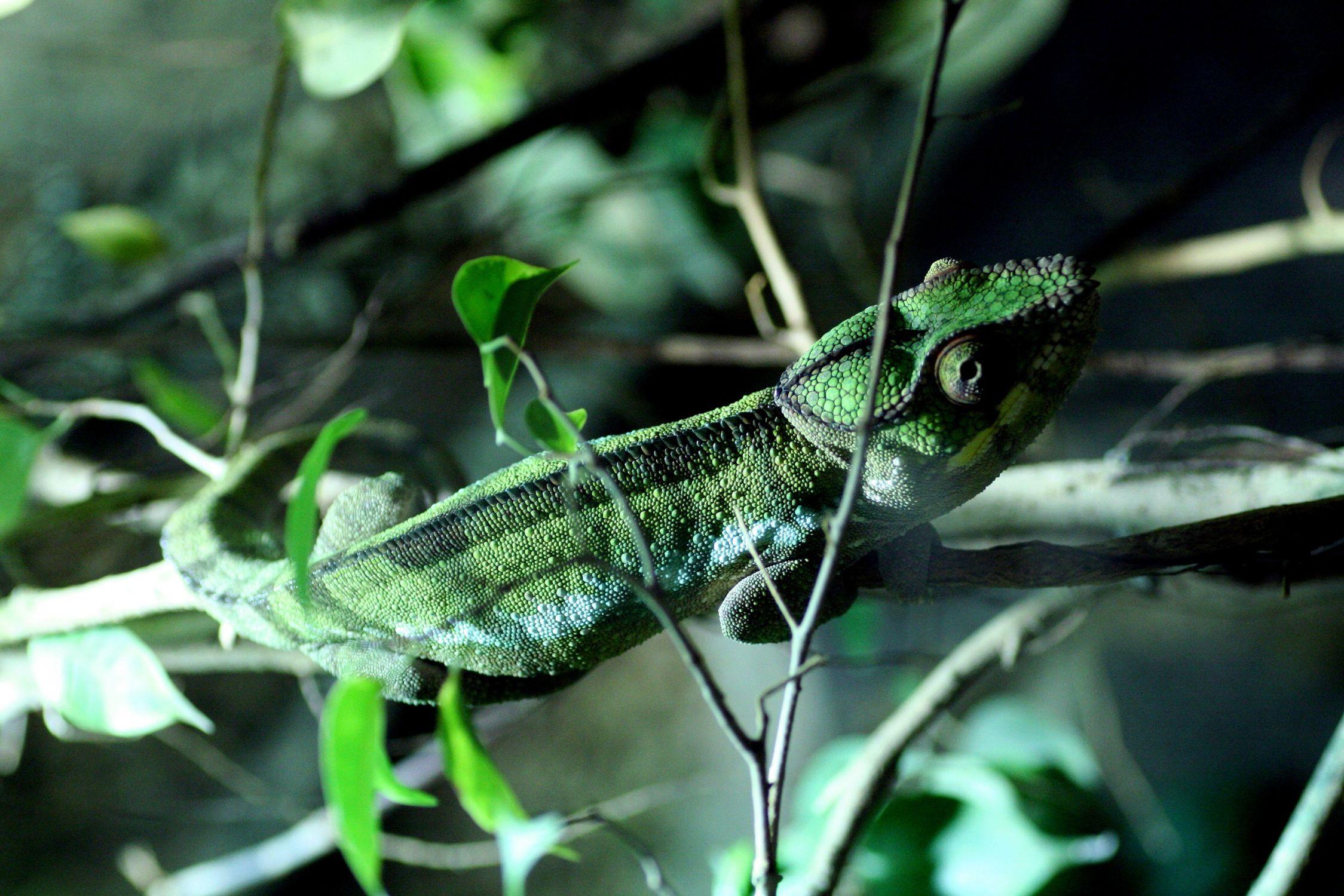Bild mit Farben, Tiere, Natur, Grün, Pflanzen, Reptilien, Eidechsen, Leguane, Chamäleons