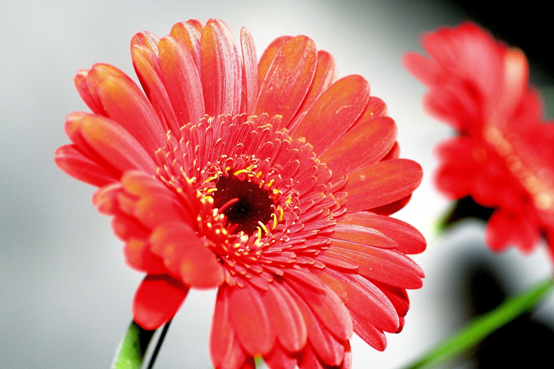 Bild mit Farben, Orange, Gegenstände, Natur, Pflanzen, Früchte, Blumen, Pfirsiche, Rosa, Korbblütler, Gerberas, Blume, Pflanze, Flower, Flowers, Gerbera, Schnittblume, rote Gerbera, rote Gerberas