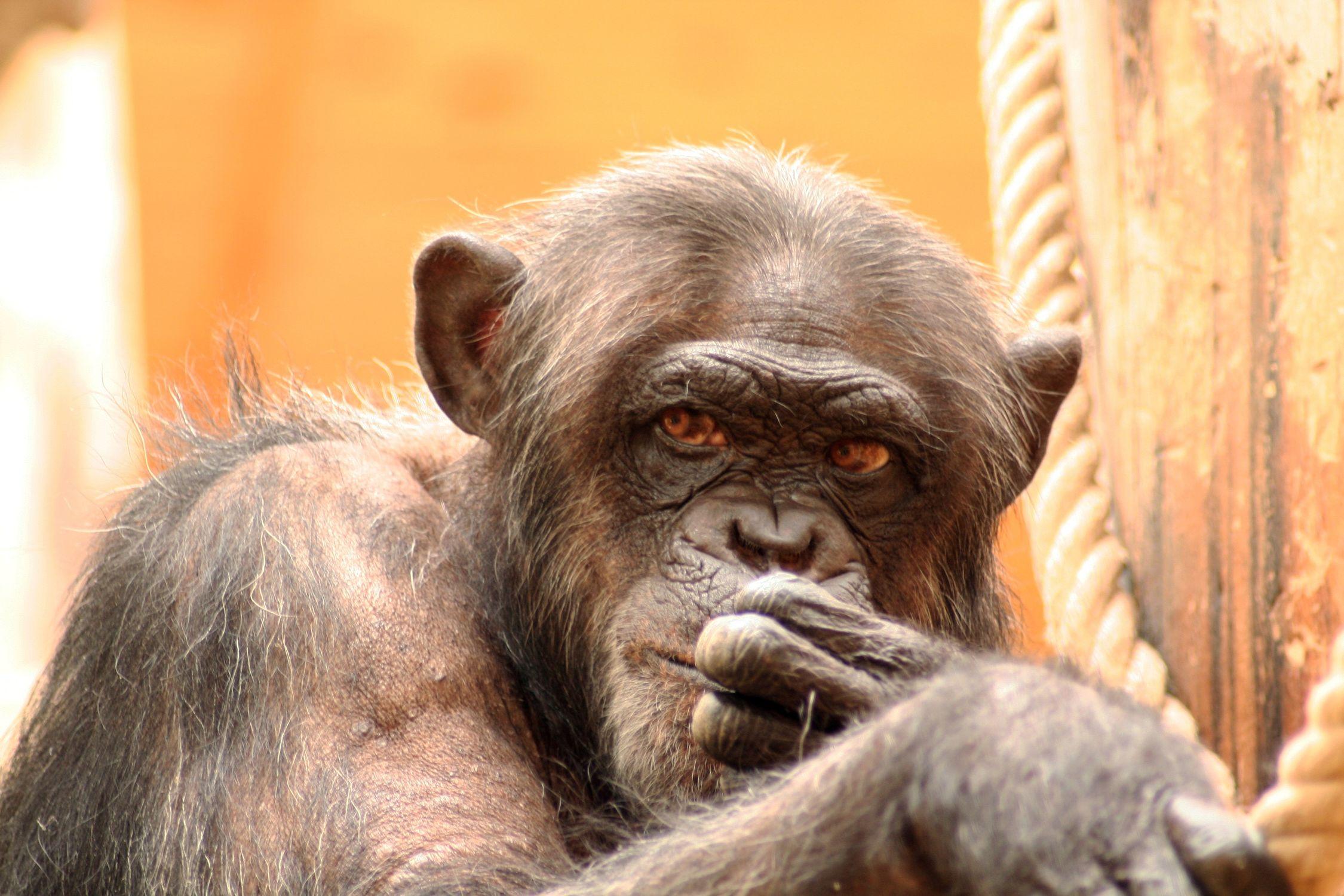 Bild mit Tiere, Säugetiere, Primaten, Menschen, Körperteile, Köpfe, Augen, Haut, Orte, Parks, Zoos, Menschenaffen, Schimpansen, Makaken, Affe, Tier, Bonobo, Zwergschimpanse, Hominidae, Pan troglodytes, Pan paniscus, Affen, Orang Utans