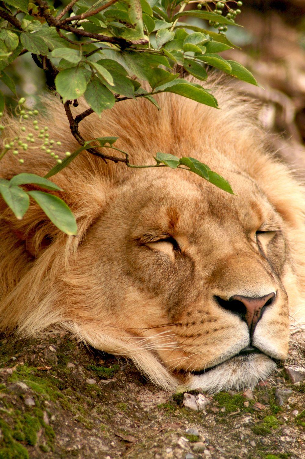 Bild mit Tiere, Säugetiere, Parks, Zoos, Raubtiere, Katzenartige, Löwen, Tier, Löwe