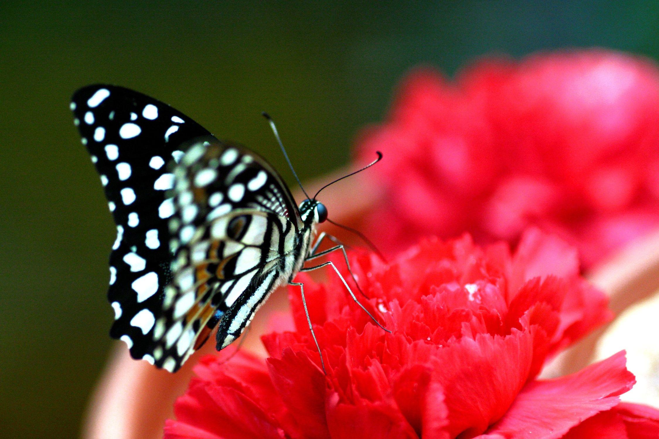 Bild mit Tiere, Natur, Pflanzen, Blumen, Insekten, Schmetterlinge, Monarchfalter, Tier, Schmetterling