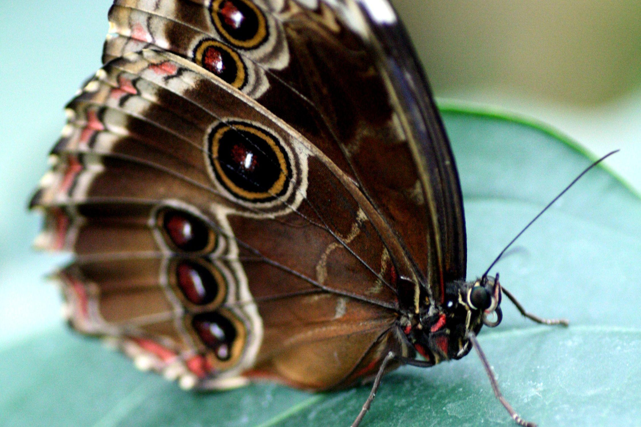 Bild mit Tiere, Insekten, Schmetterlinge, Schmetterling, Insekt