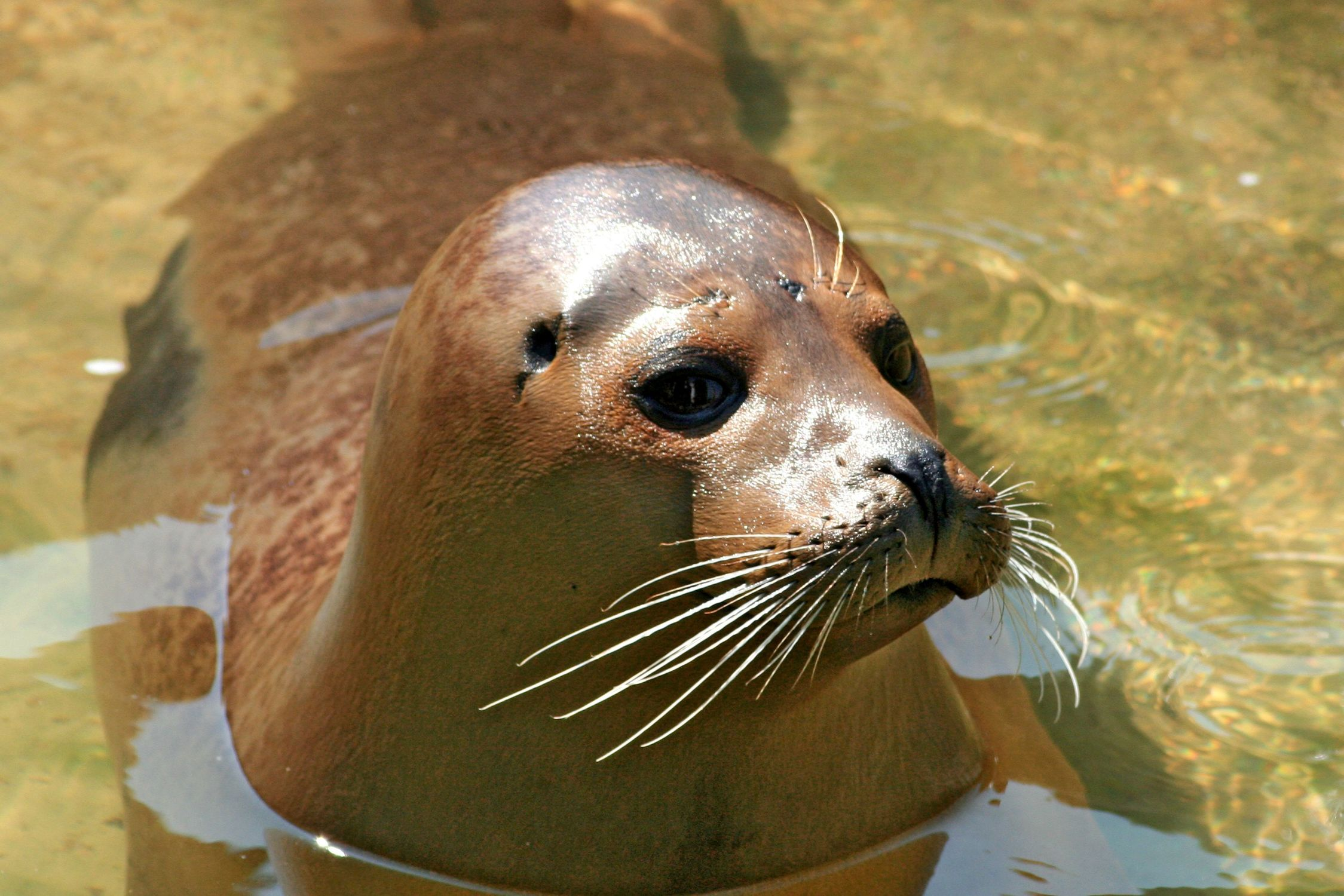 Bild mit Tiere, Säugetiere, Robben, Seehunde, Seelöwen, Seeblöwen, Tier, Seehund i phoca vitulina, Robbe, i phoca vitulina